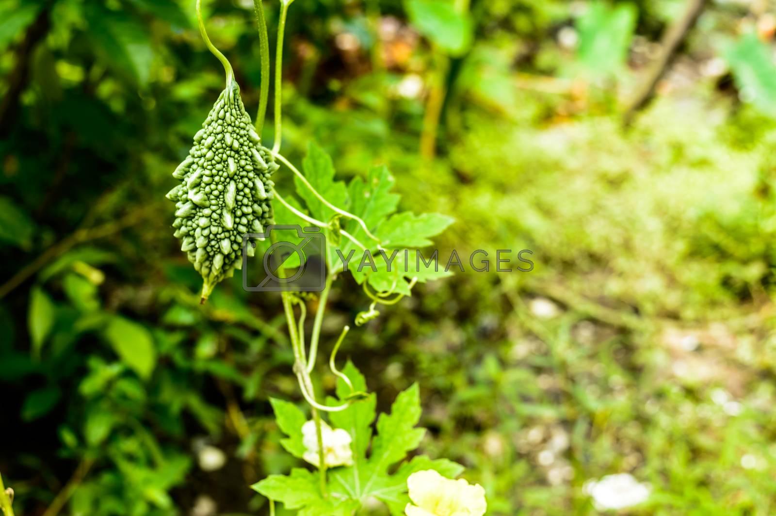 Bitter melon Plant (Karela). Momordica charantia. Growing Bitter Gourd in vegetable garden. Desi Commodity Hybrid Karela Seed. The most bitter taste of all edible fruit.