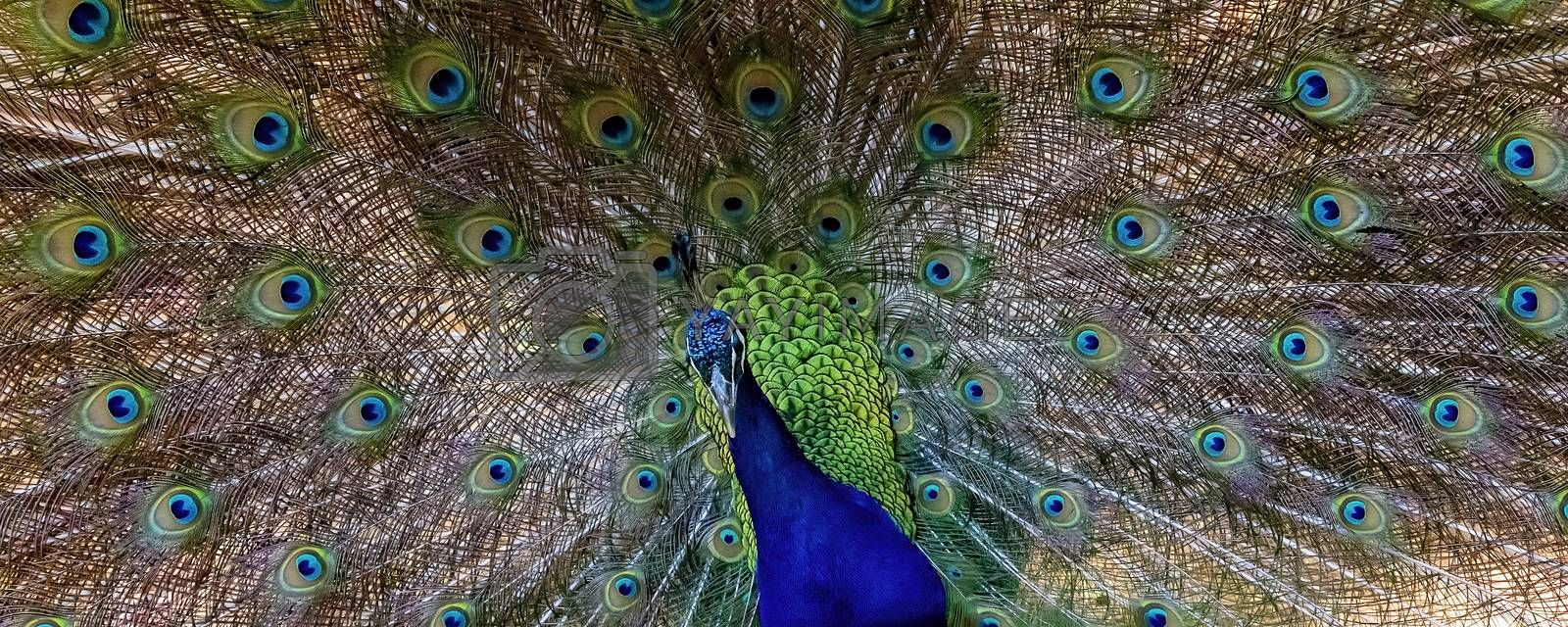 Closeup of a peacock with its beautiful iridescent plumage