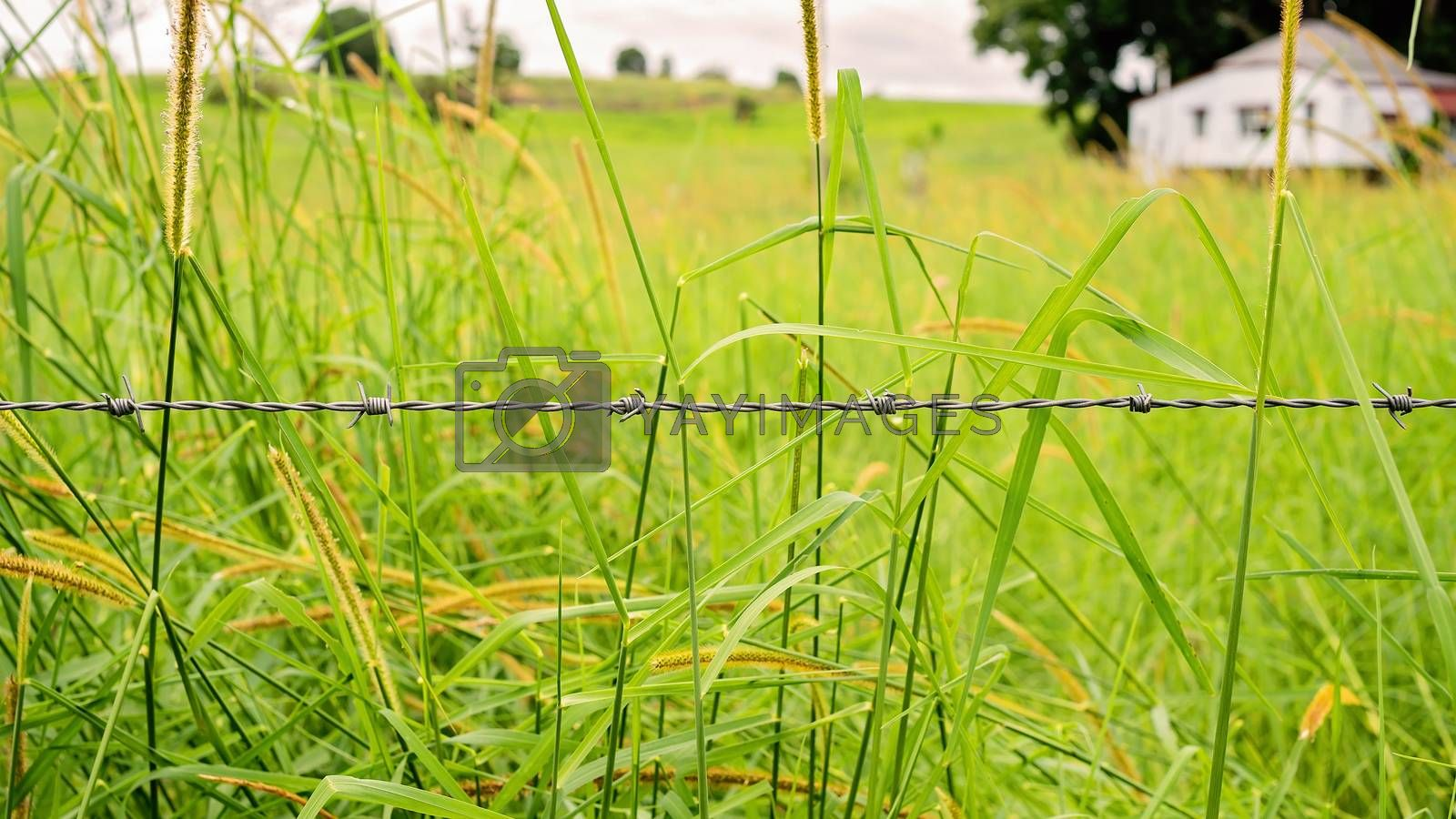 Barbed wire forming a fence across a field of lush wild green grass flourishing after rainfall, with an old home in the background