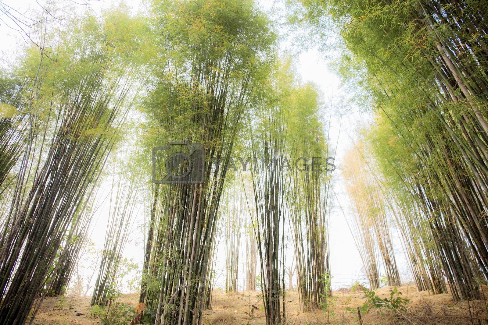 Bamboo tree in forest with the sunlight at sky.
