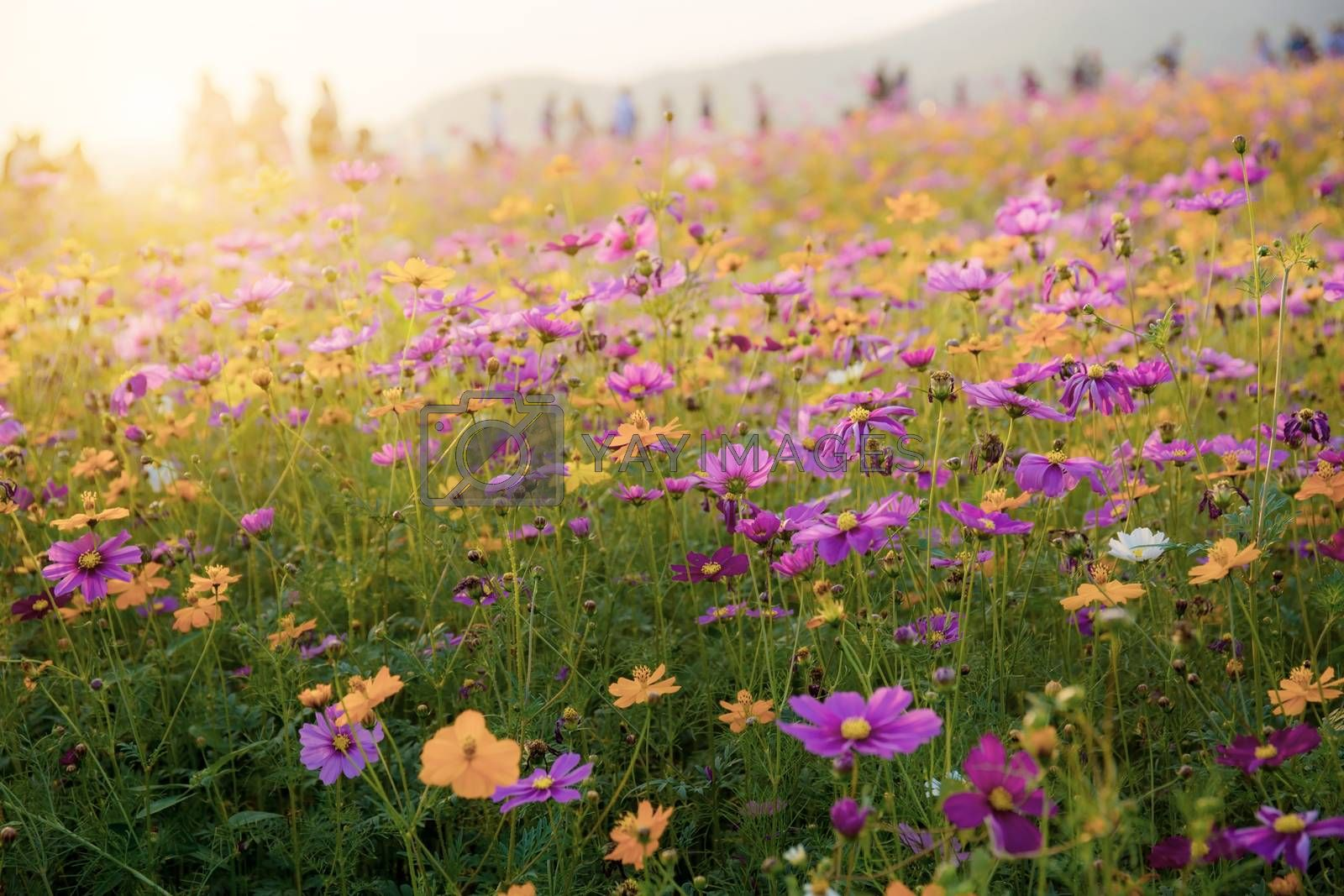 Cosmos on field with colorful at the sunlight.