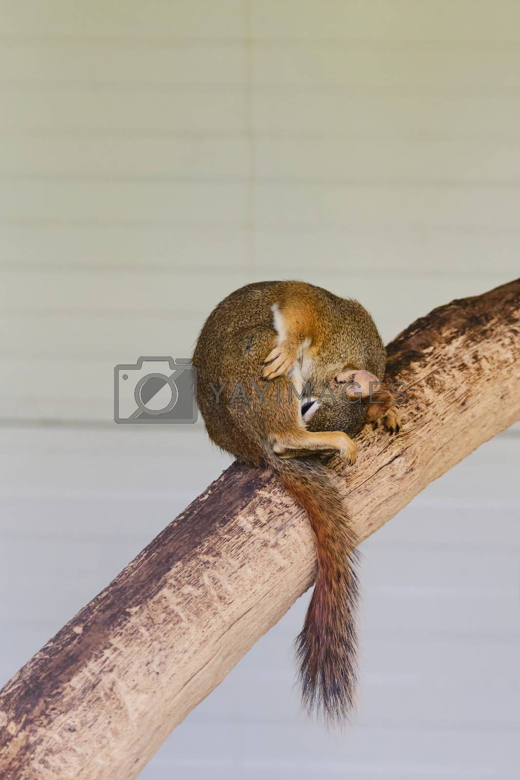 A rodents marmots chipmunks squirrel spotted on a tree trunk on hunting mood. Animal behavior themes. Focus on eye.