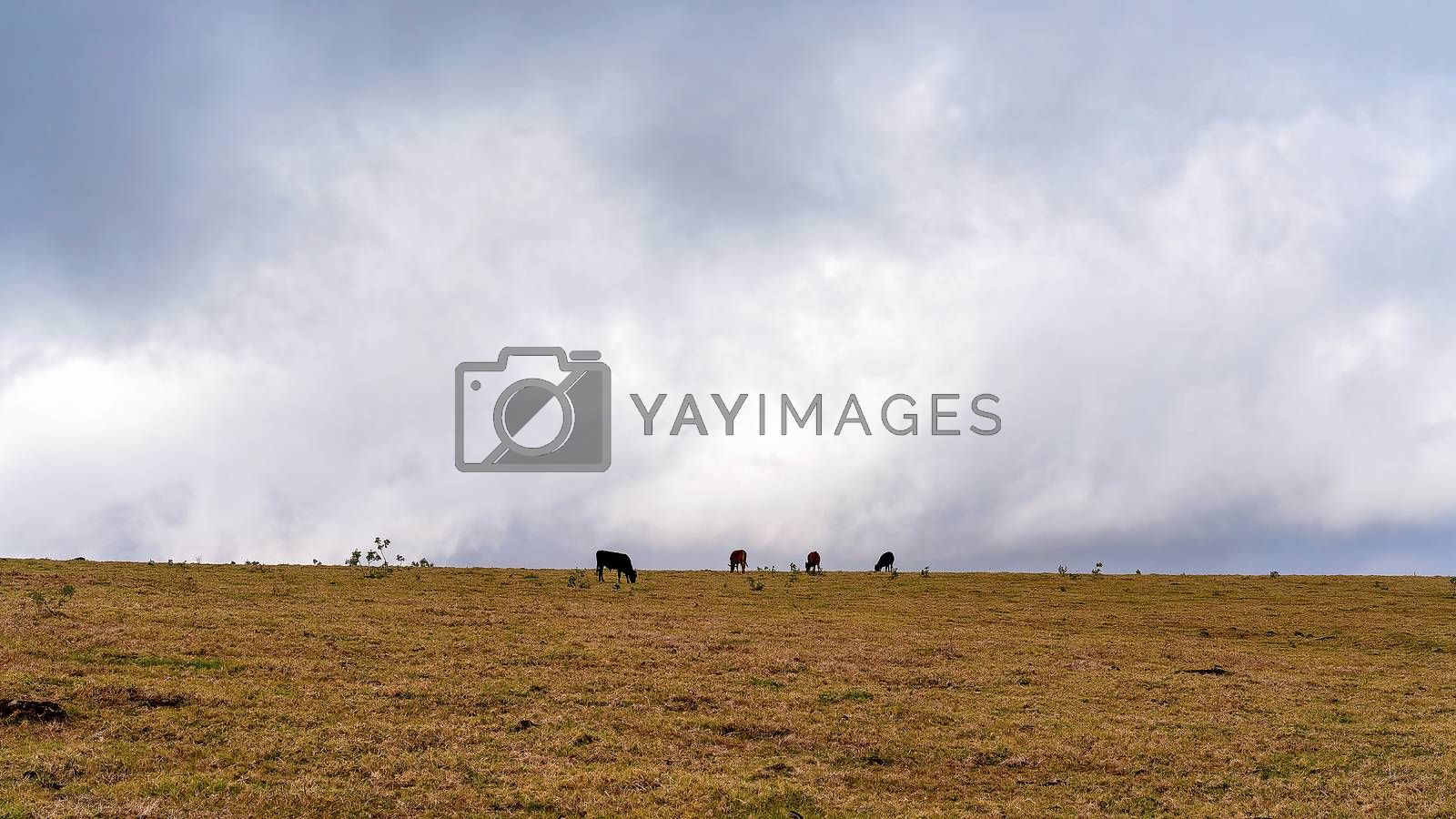 Dairy cows grazing on a hill top against a dull cloudy sky