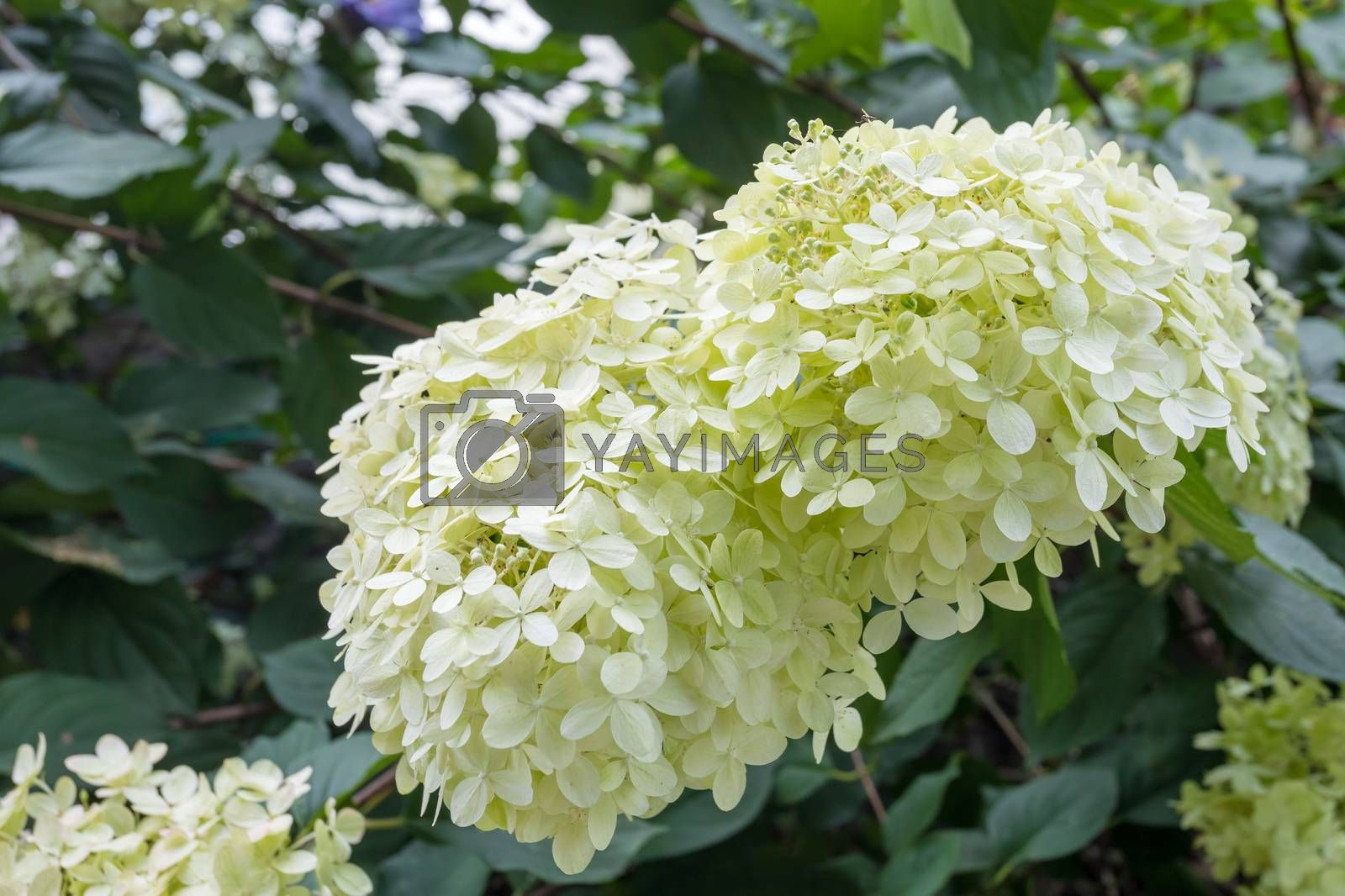Hydrangea arborescens or Smooth hydrangea with white flowers and green foliage in garden. detail view of flowering plant