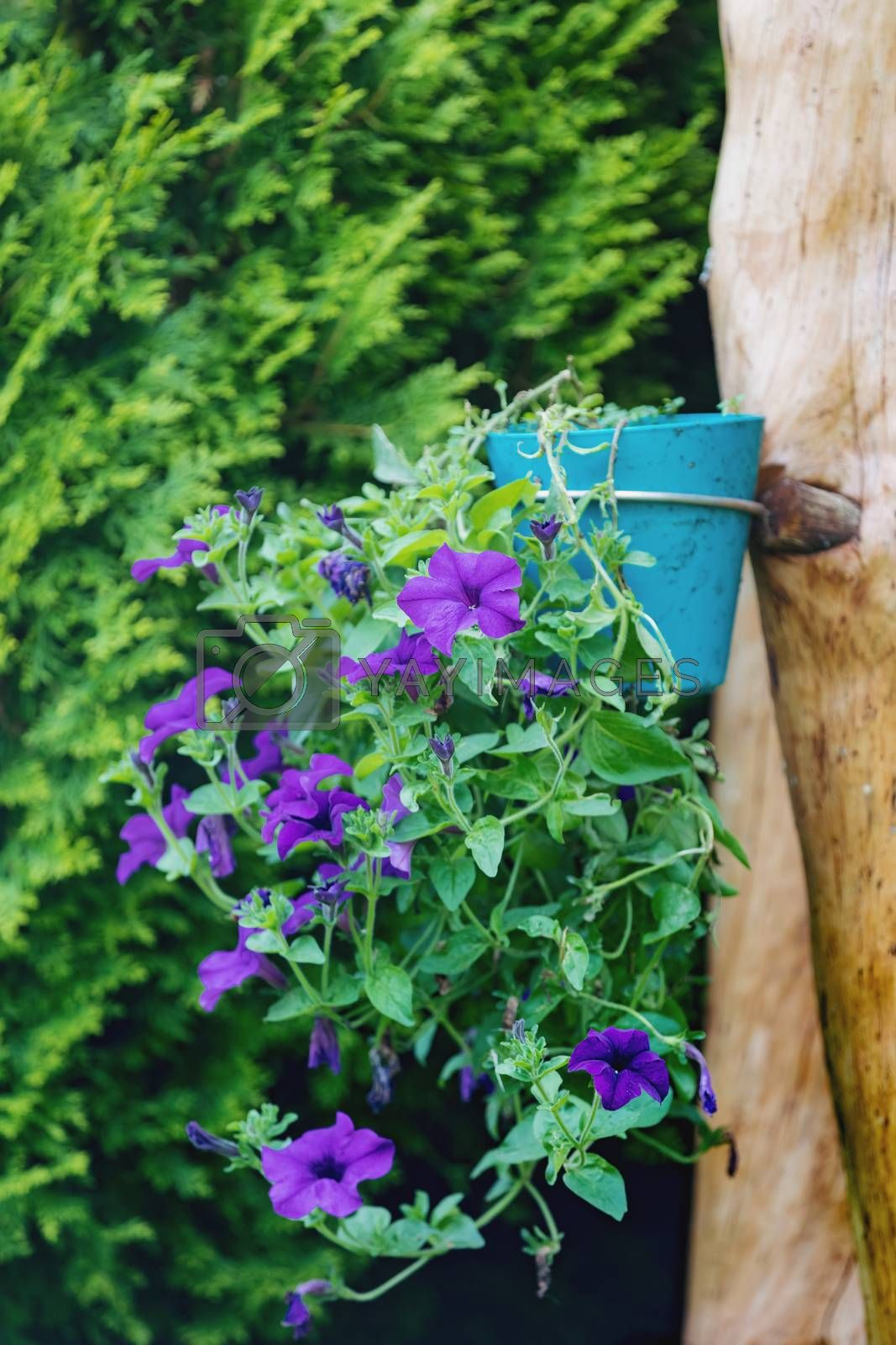 blue flower Petunia Surfinia in late summer garden, hanged in pot on tree trunk