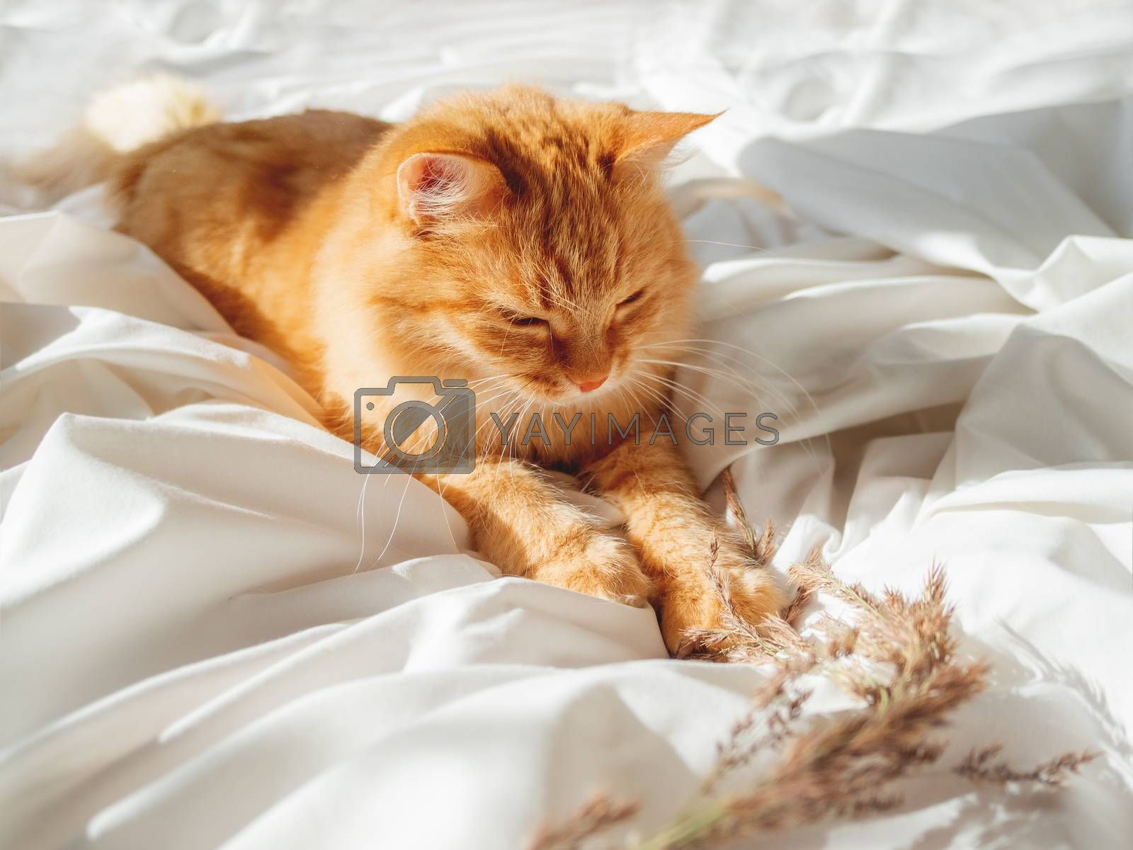 Cute ginger cat plays with dried grass on crumpled bed. Morning bedtime with playful pet. Fluffy domestic animal on white bed sheet. Cozy home.