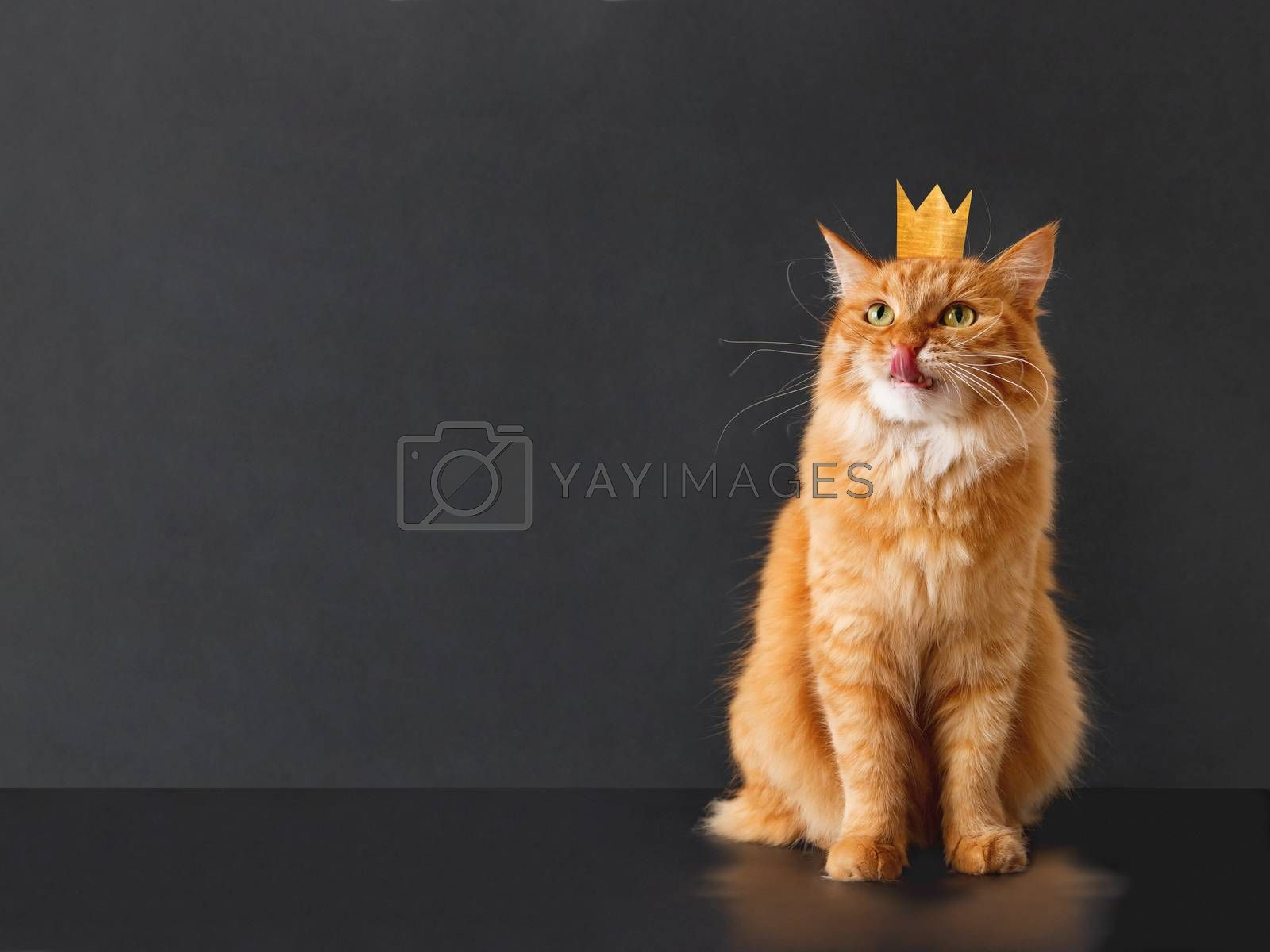 Cute ginger cat with awesome expression on face and golden crown on head posing like lion. Fluffy pet licks its lips. Black background with copy space.
