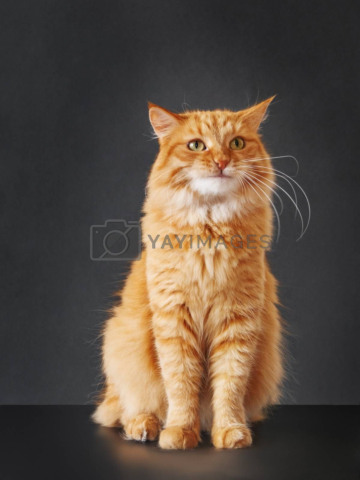 Cute ginger cat with awesome expression on face posing like lion on black background. Symbol of your inner self.