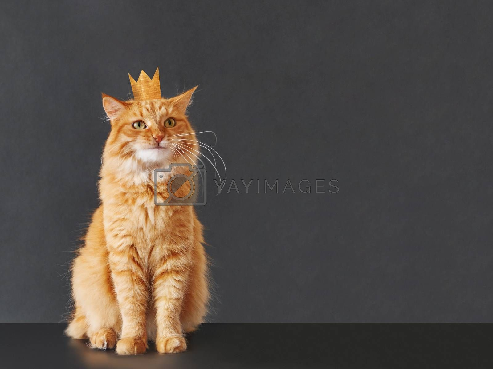 Cute ginger cat with awesome expression on face and golden crown on head posing like lion on black background with copy space. Symbol of your inner self.