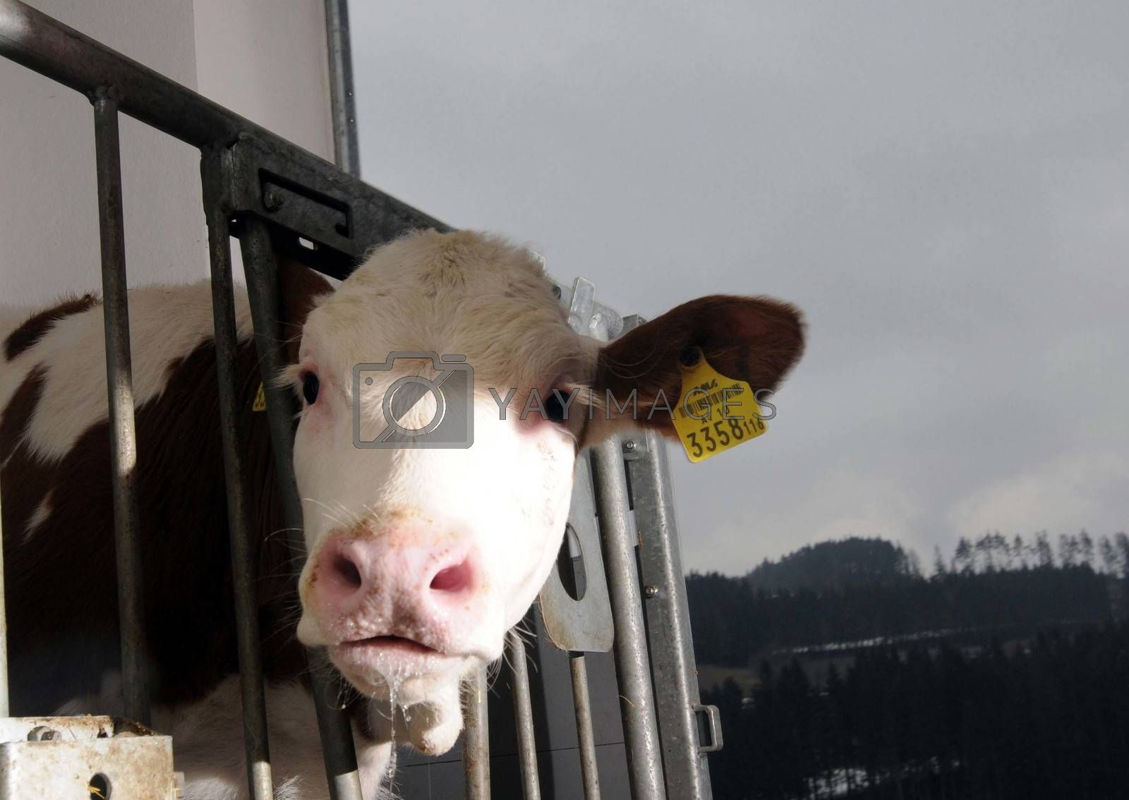 calf behind a fence in a cowshed looks at you