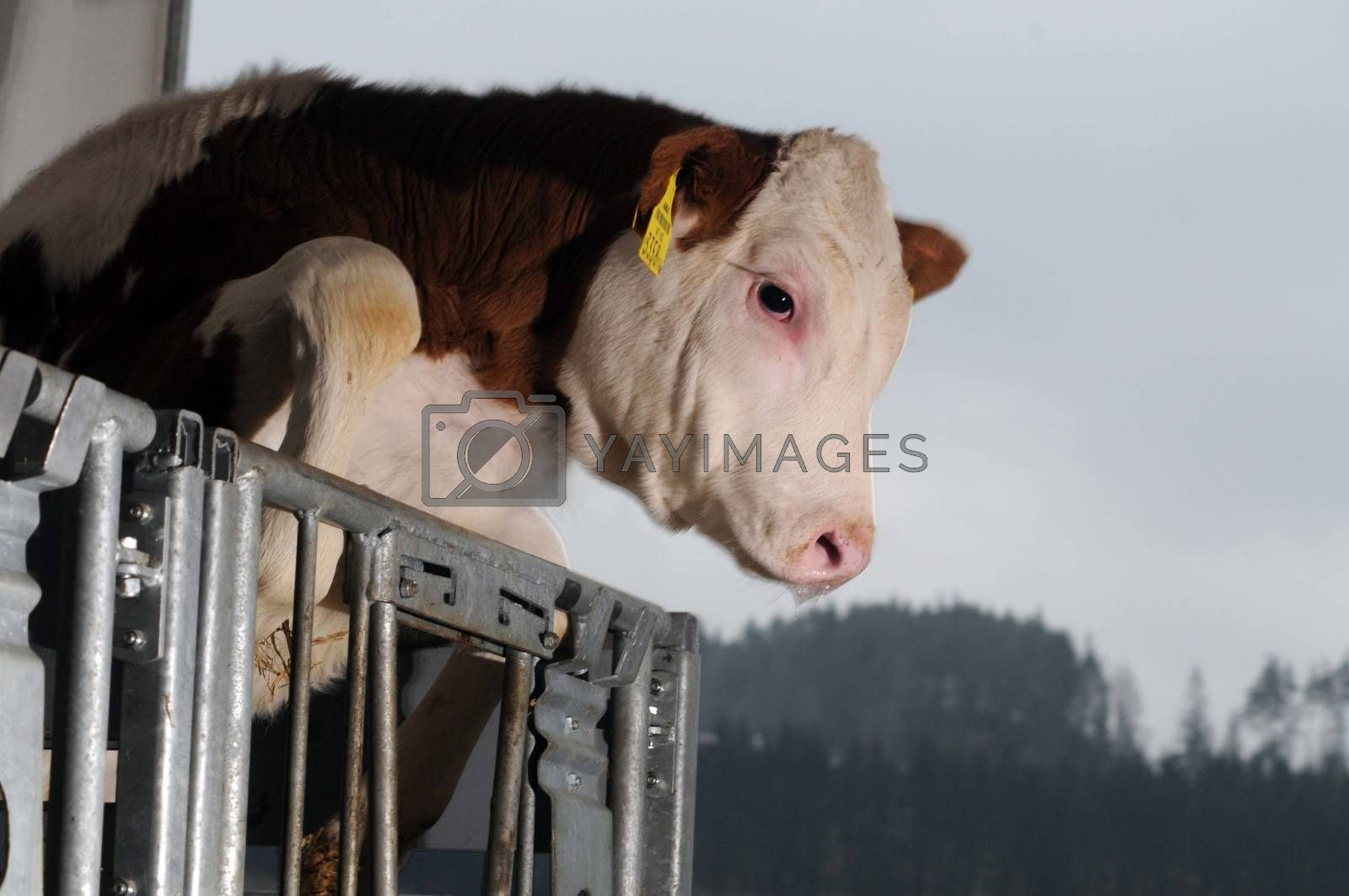 calf in the cowshed trying to jump over the fence