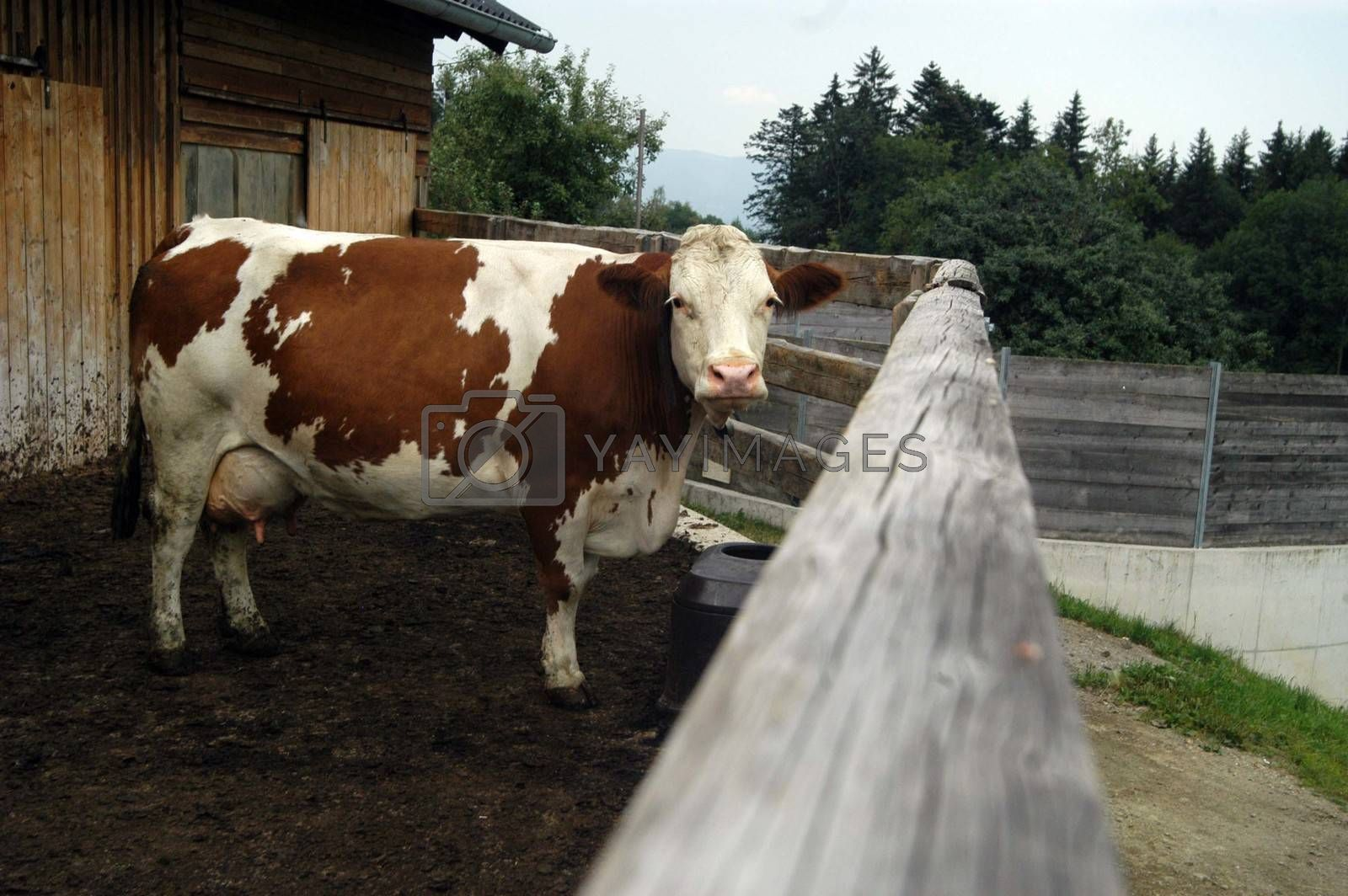 cow shed outlet in the alps with brown white cow