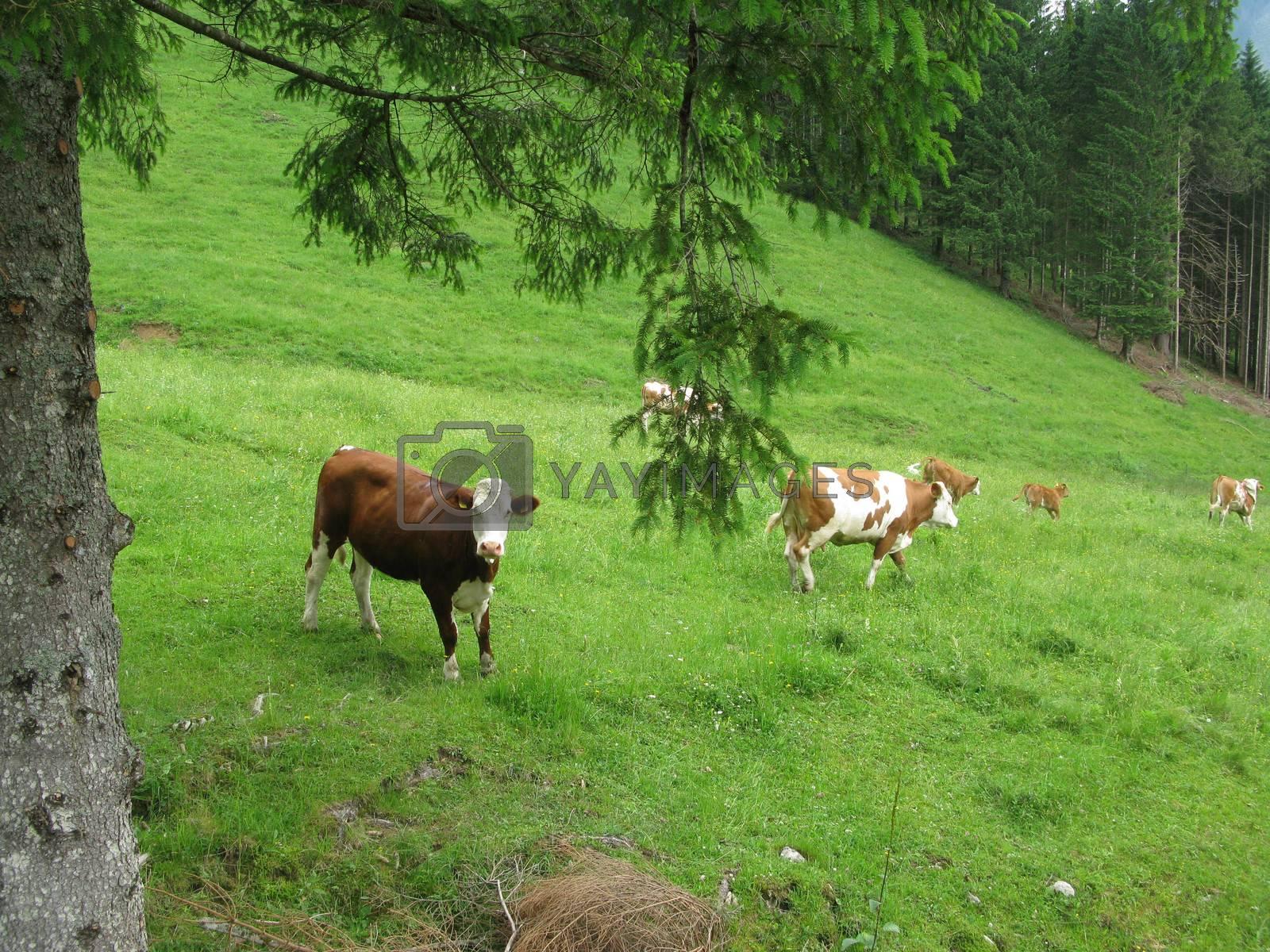 Herd of cows in the alps walking up to higher grasslands