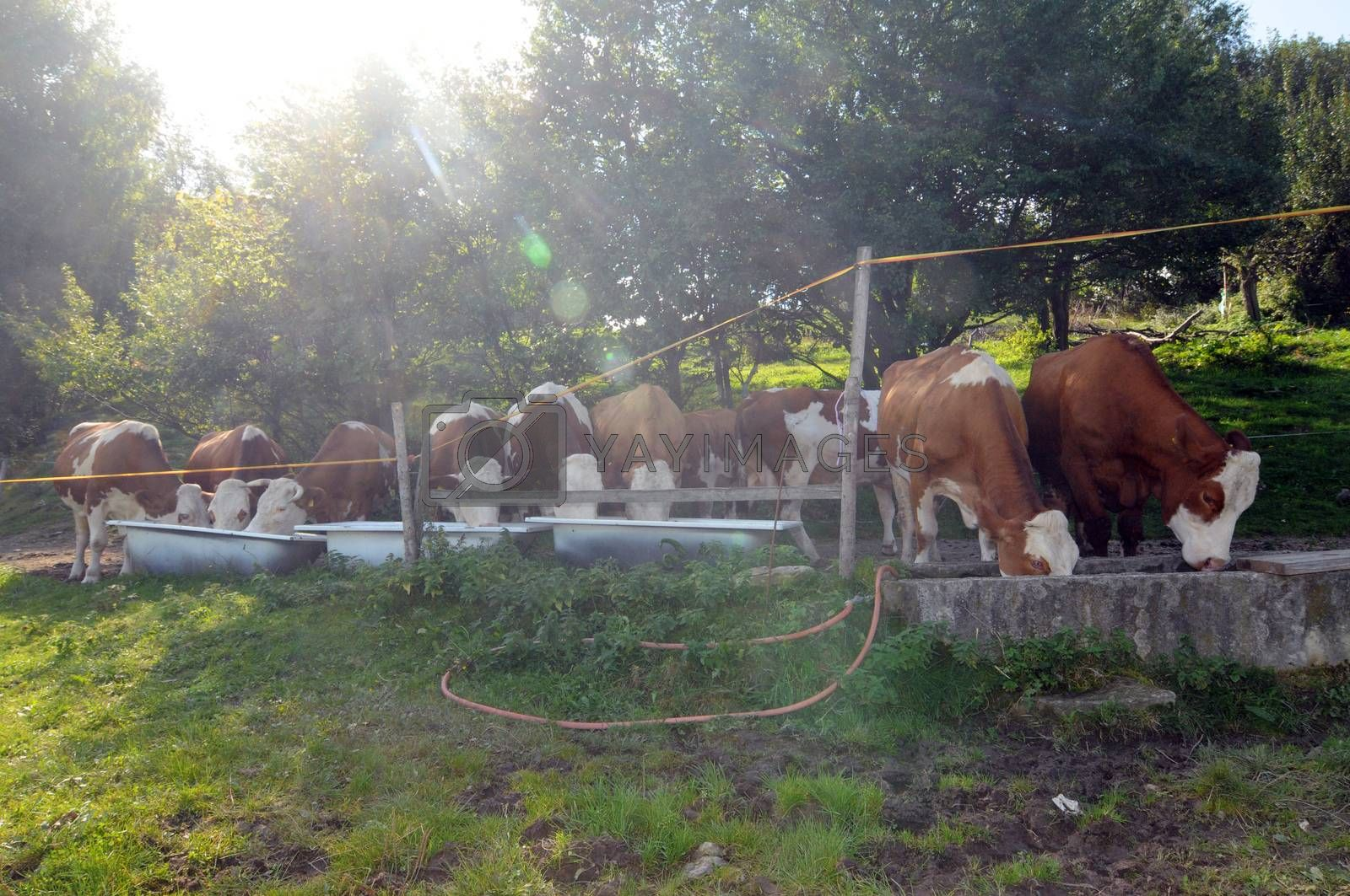 a herd of cows in the alps drinking fresh water