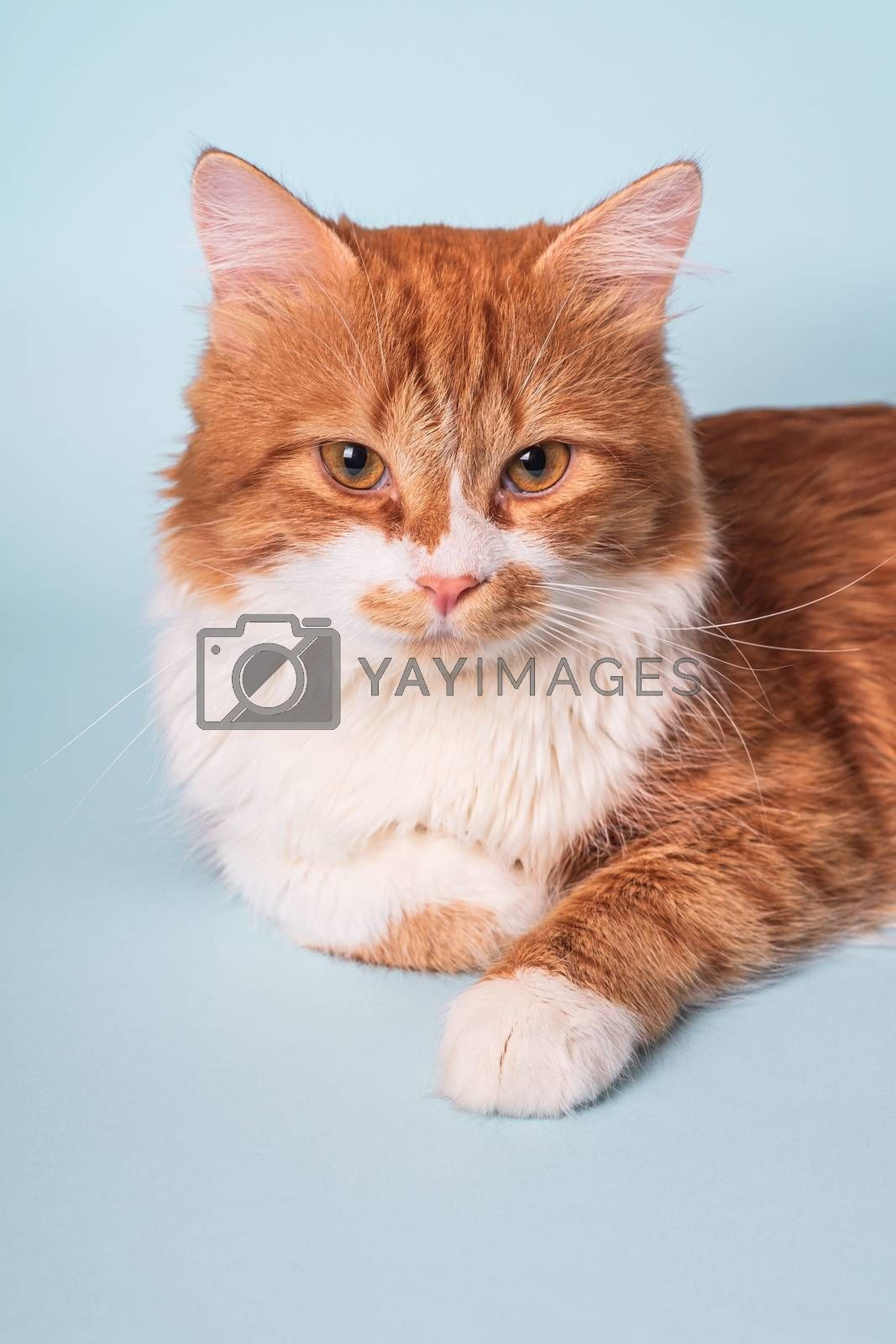 Adorable young ginger cat with white fur and serious face lying and resting on blue background