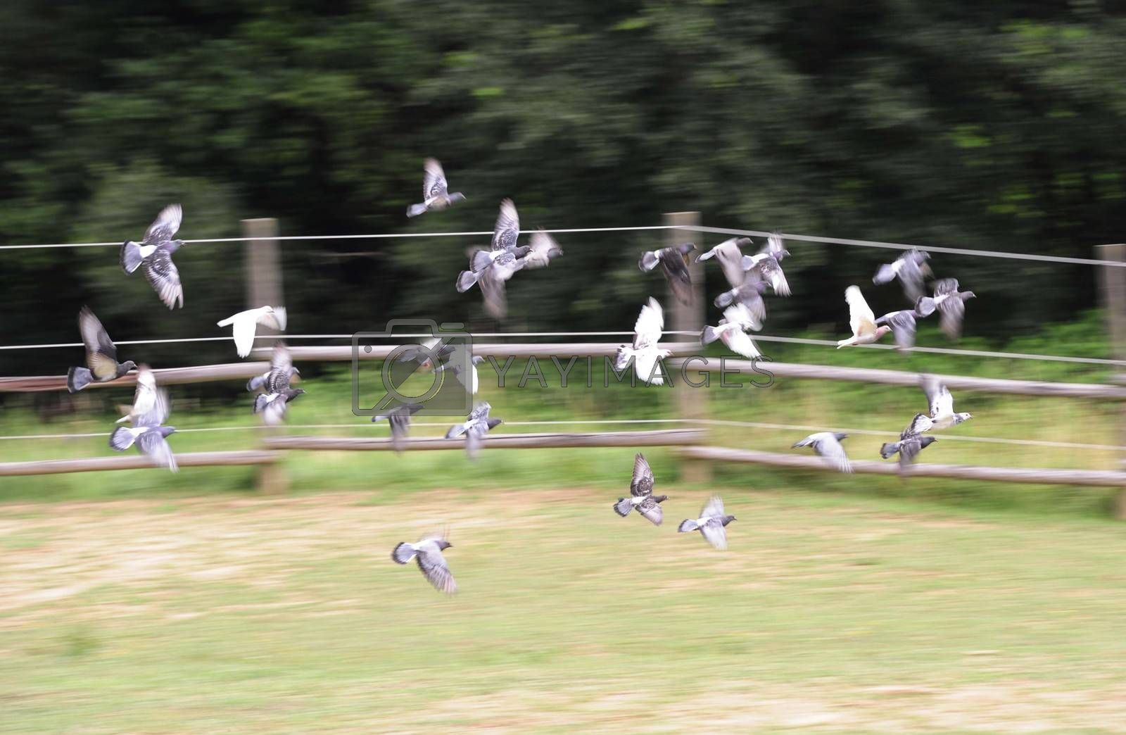 flock of doves flying in the sky, fence in the background