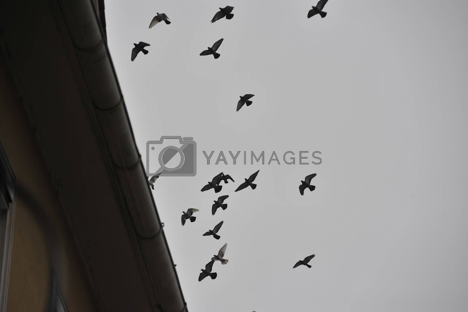 a flock of doves flying in grey sky over a house