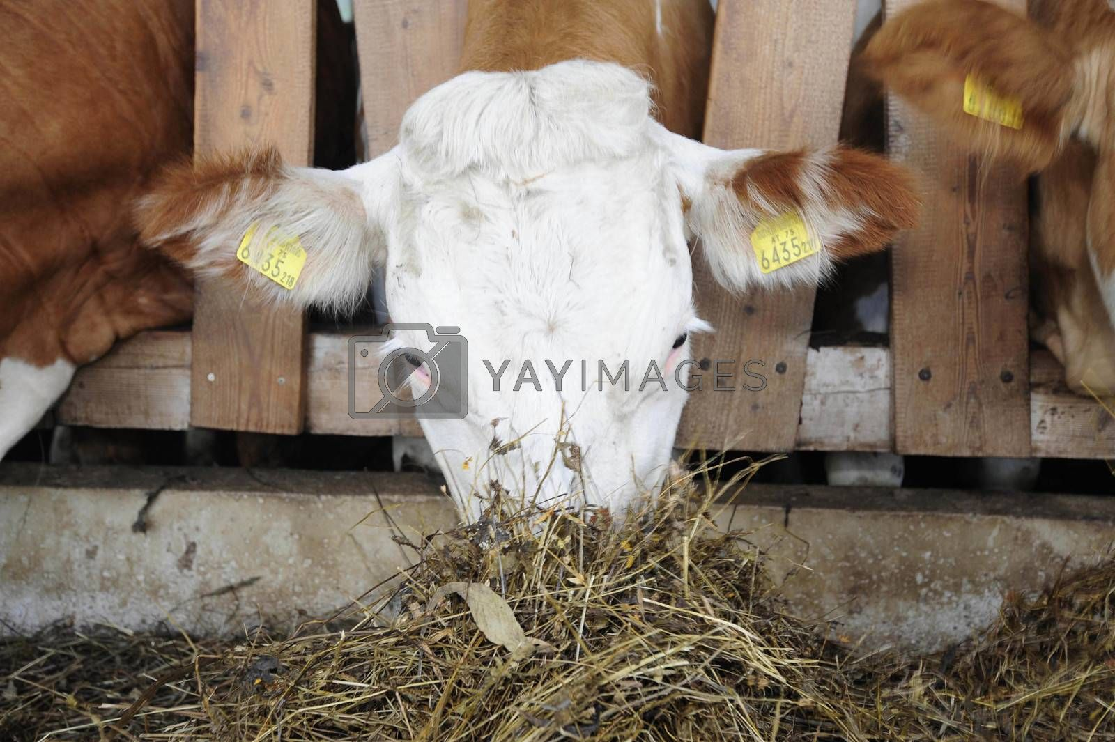 Feeding animals in the cowshed, cows being fed with hay