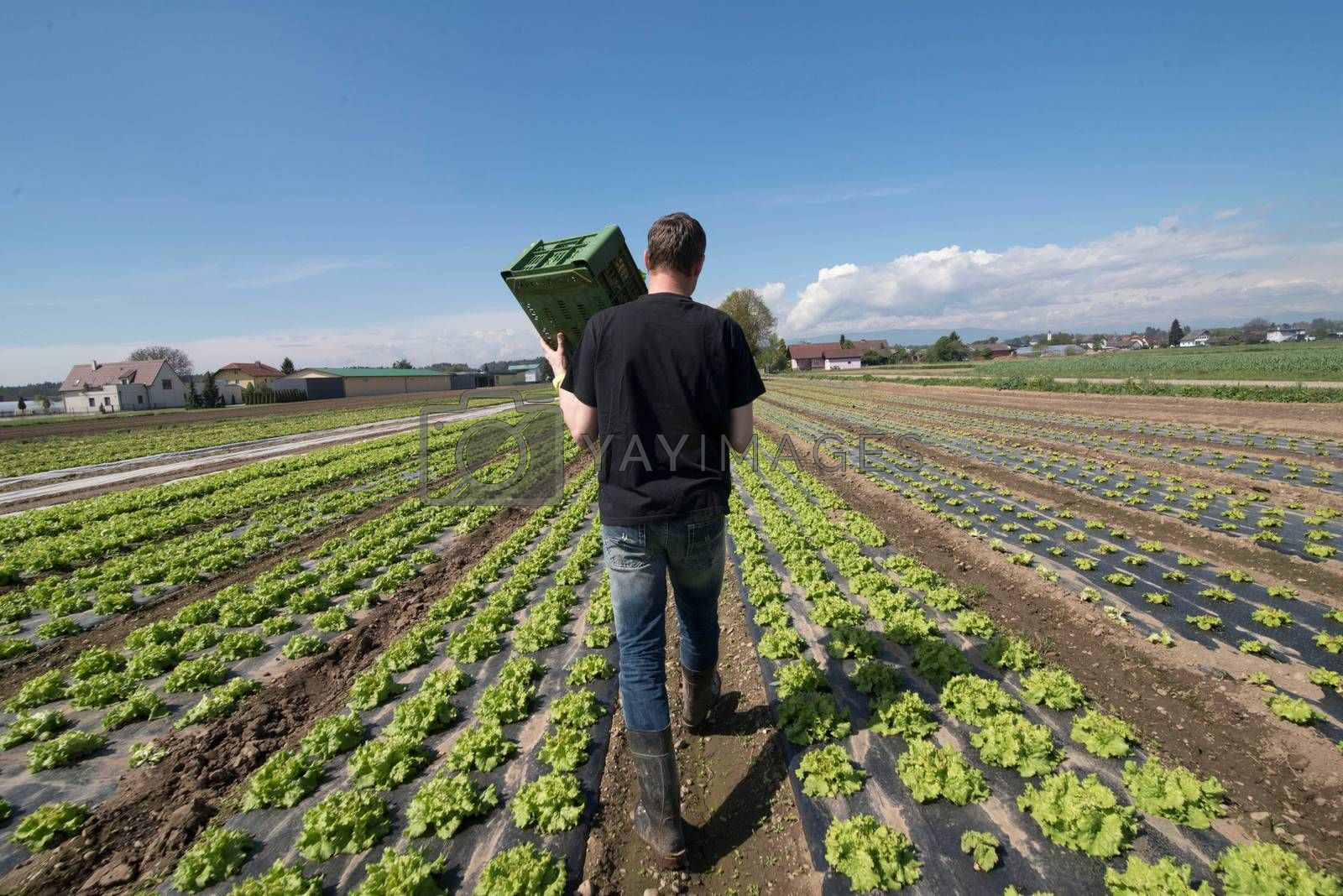 green salad field and farmer, long rows of lettuce in agricultural production
