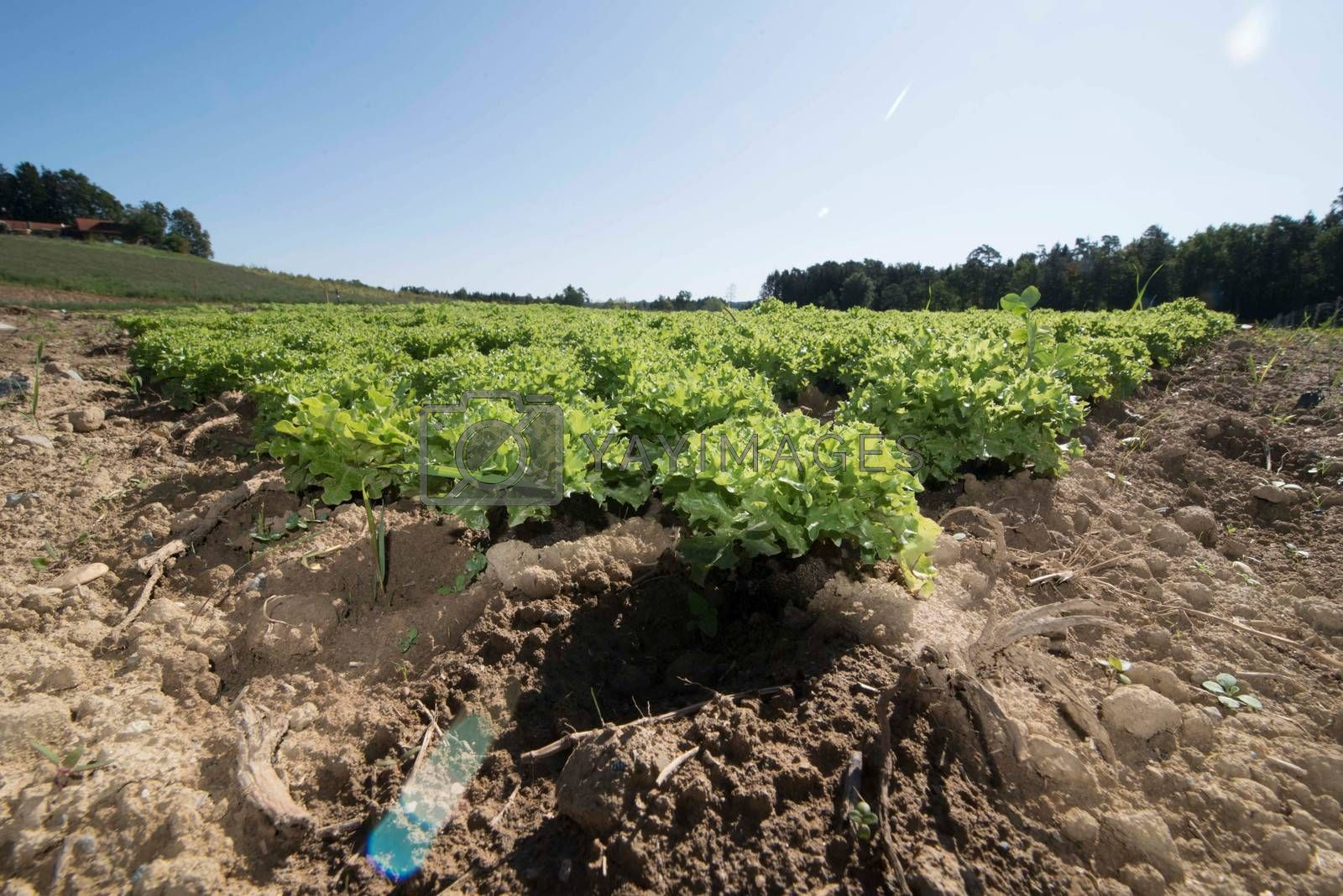 fresh green lettuce growing on the field, salad in the soil
