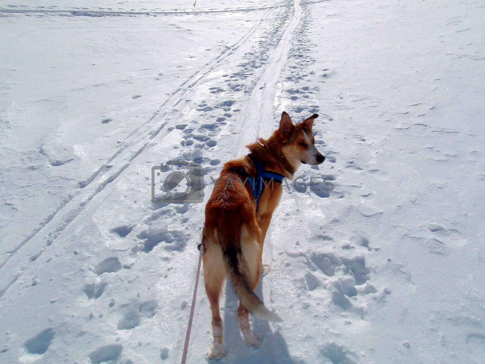 brown dog on a leash walking in snowy winter landscape, sunny day