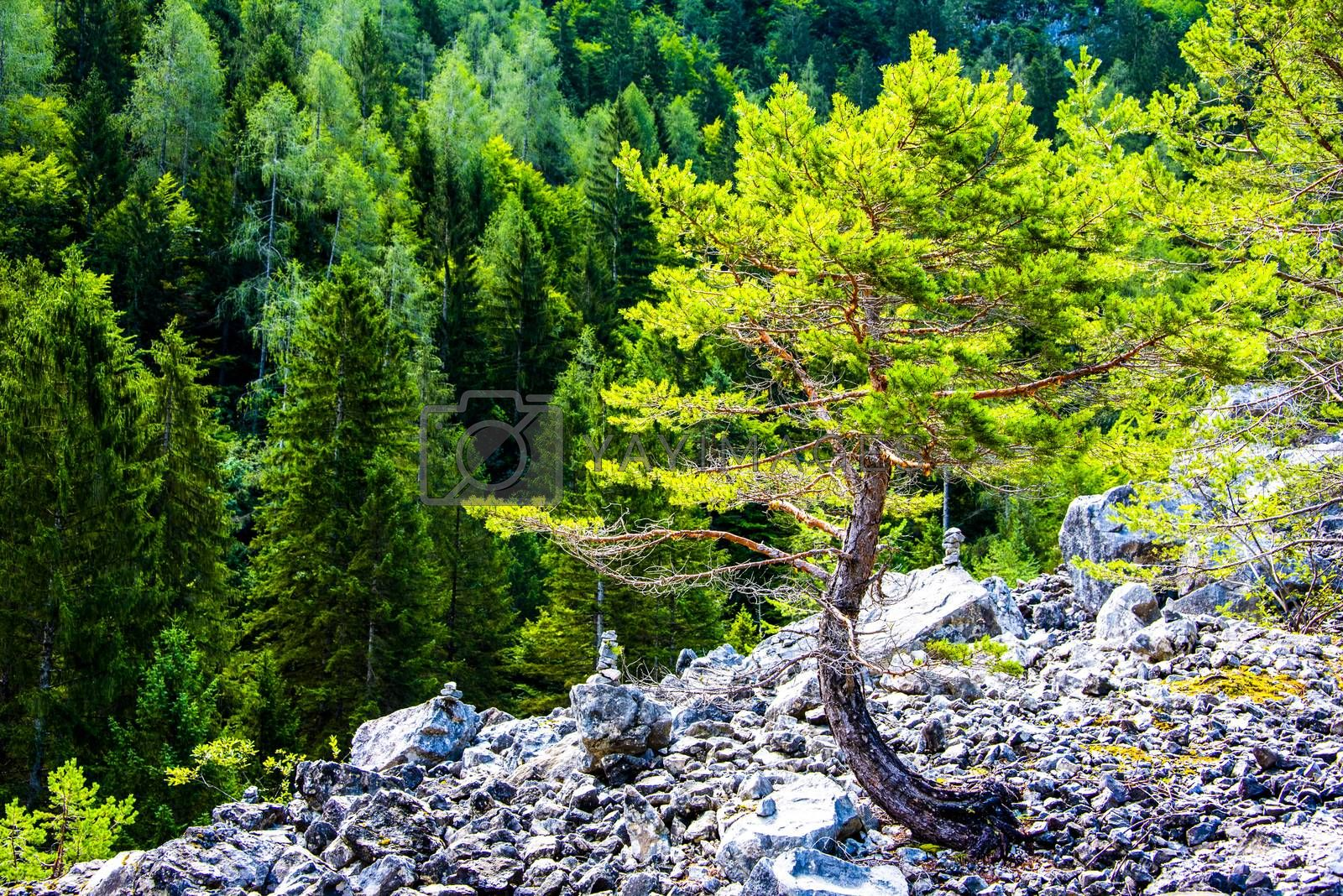 a tree curved towards Lake Tovel in the Adamello Natural Park in Val Di Non, Trento, Italy