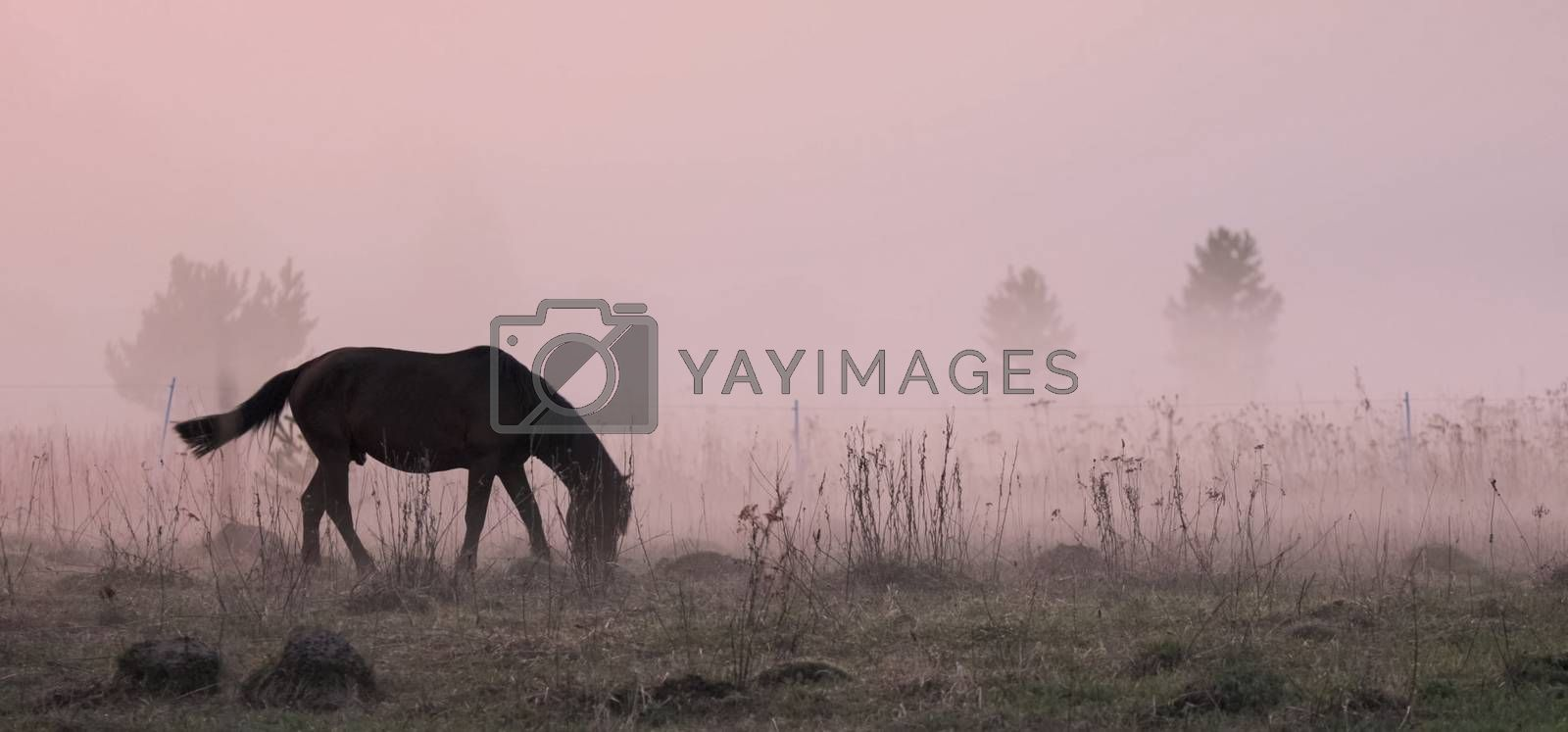 The horse grazes in a clearing. Fog on the meadow where the horse grazes.
