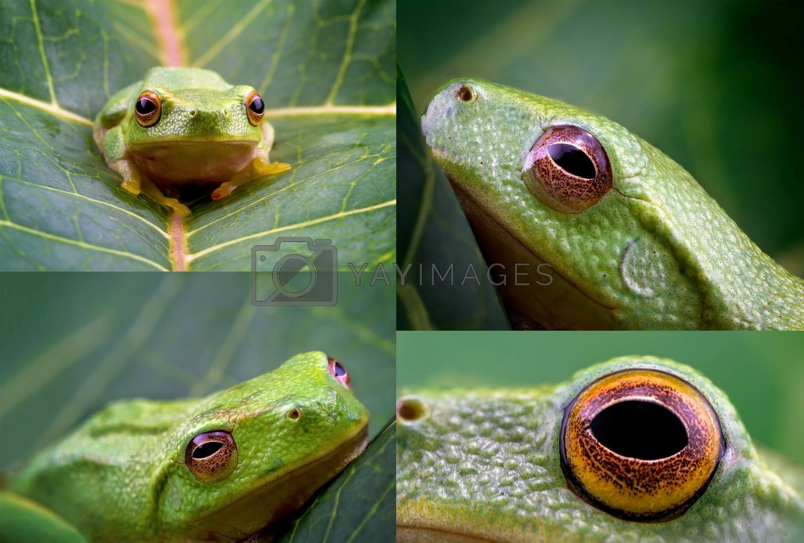 Collage of images of a tiny green frog only 15mm in length, captured in macro