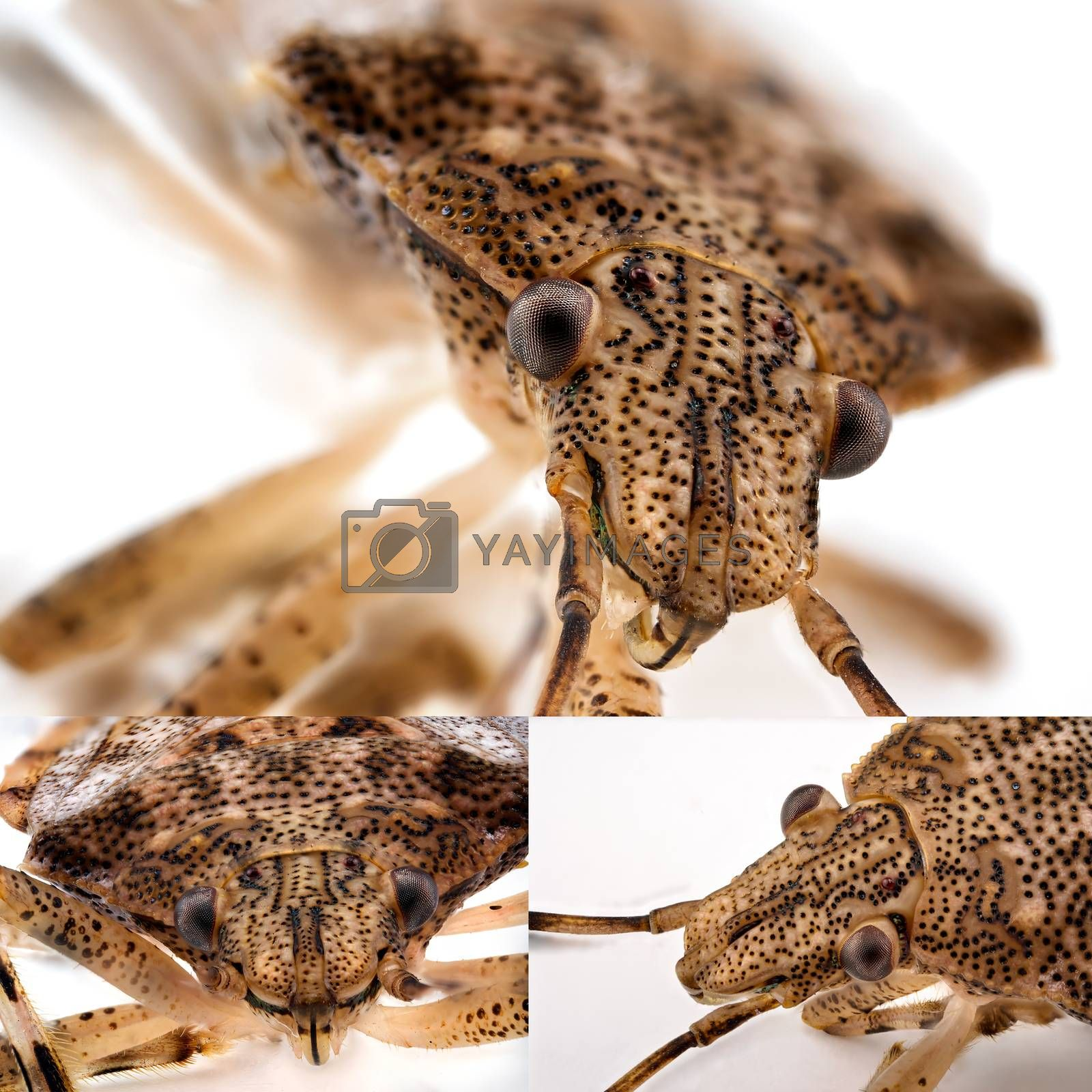 Collage of a Small Brown Stink Bug photographed in ultra macro