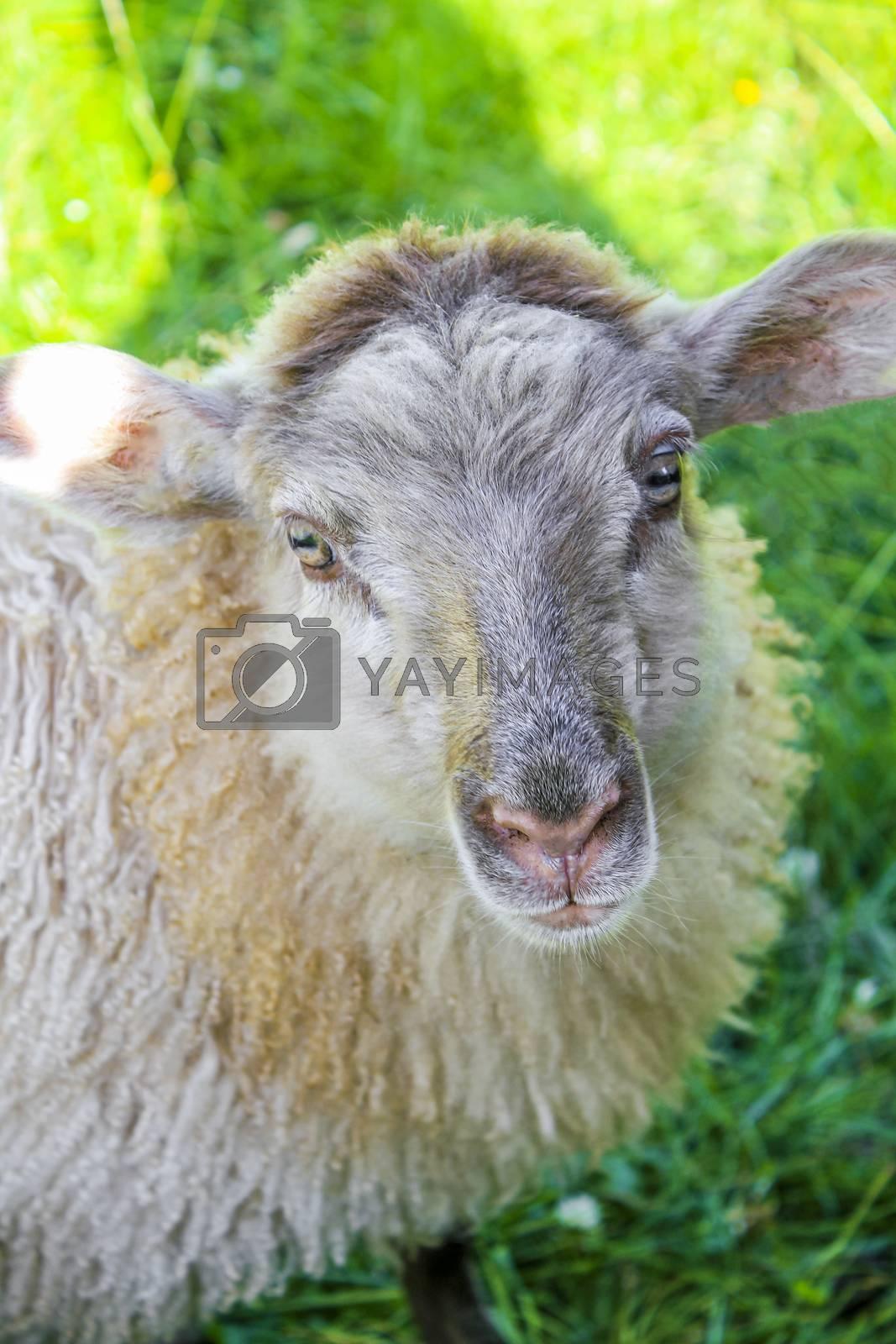 Cute brown woolly sheep in meadow in Hemsedal, Viken, Norway