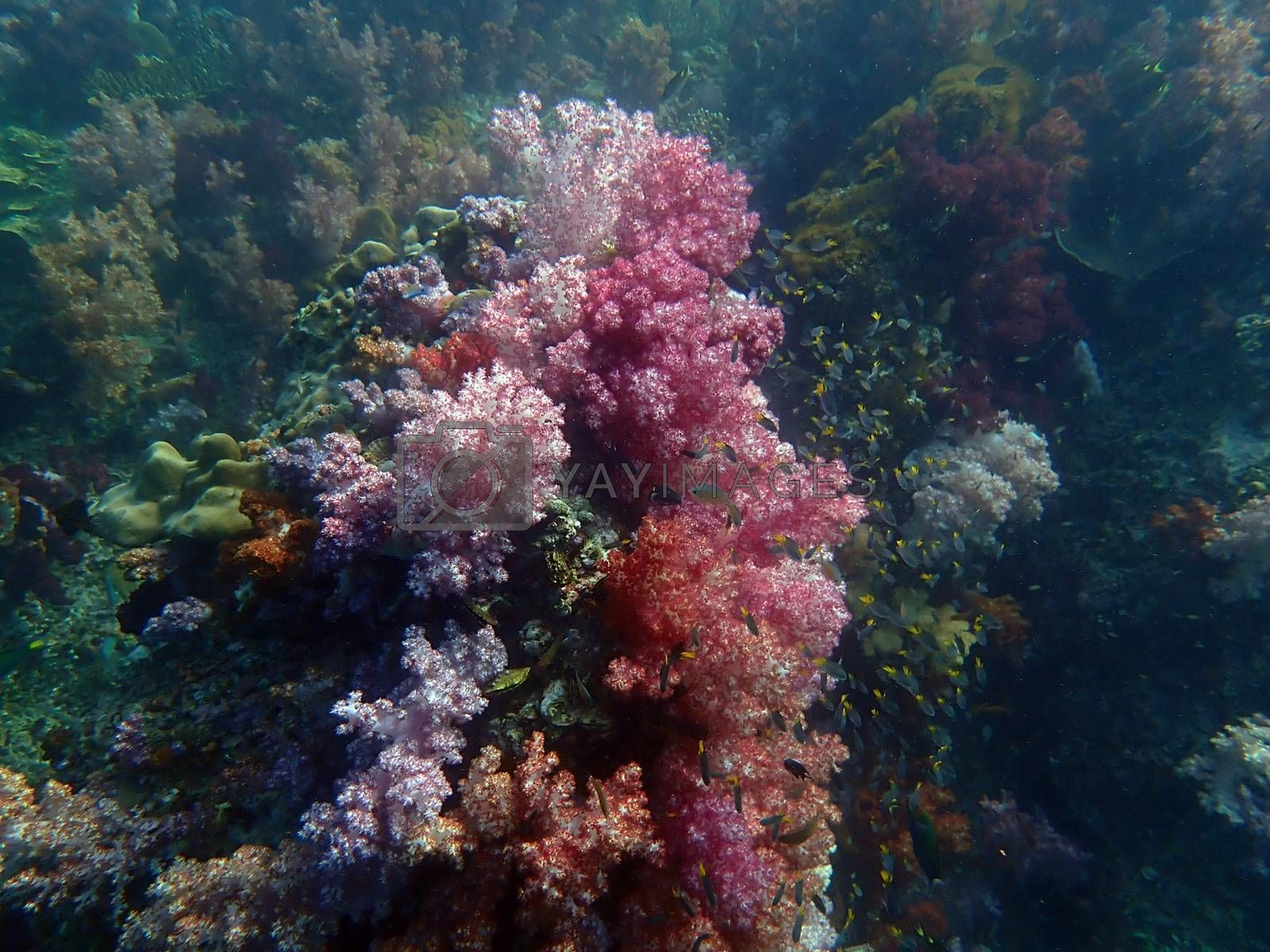Colorful coral reef with fish at Lipe Island, Andaman Sea, Indian Ocean, Thailand, nature photography
