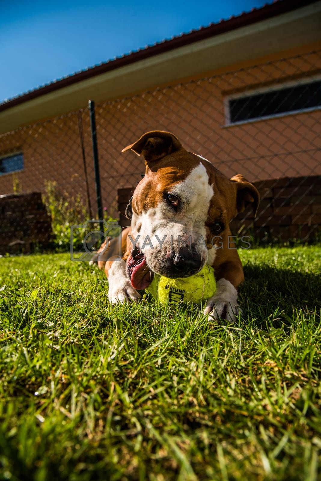 Staffordshire Amstaff dog playing in a garden with a ball