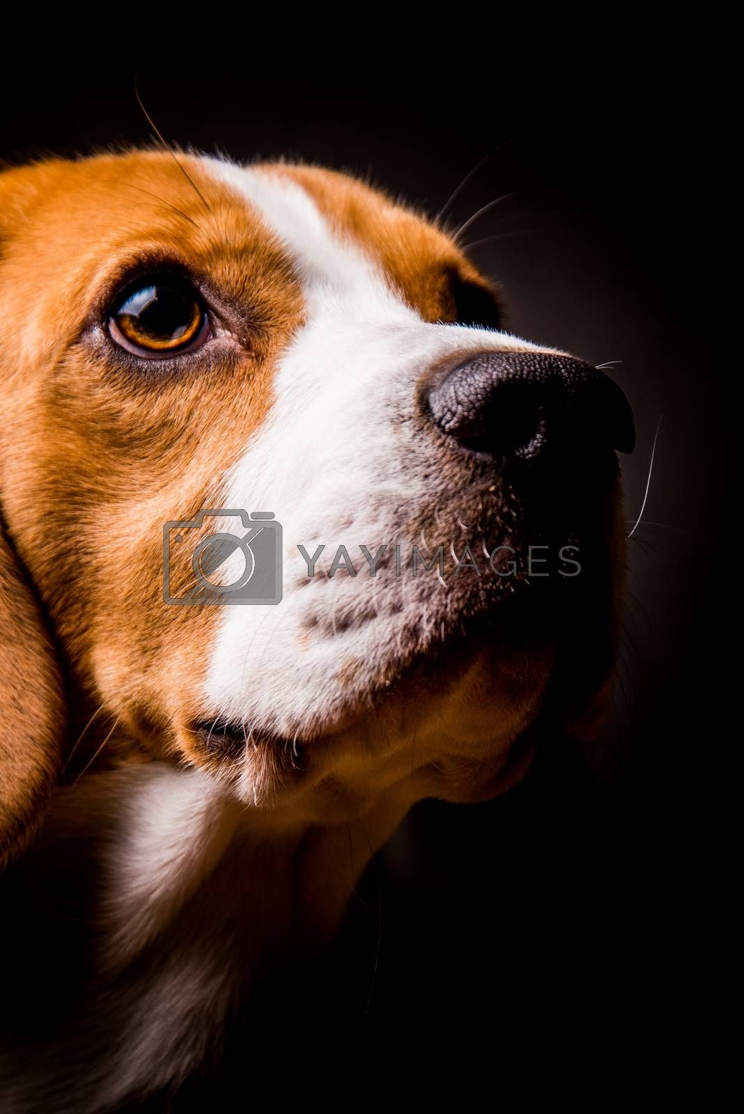 Beagle dog with big eyes sits and looking up ageinst black background. Dog theme