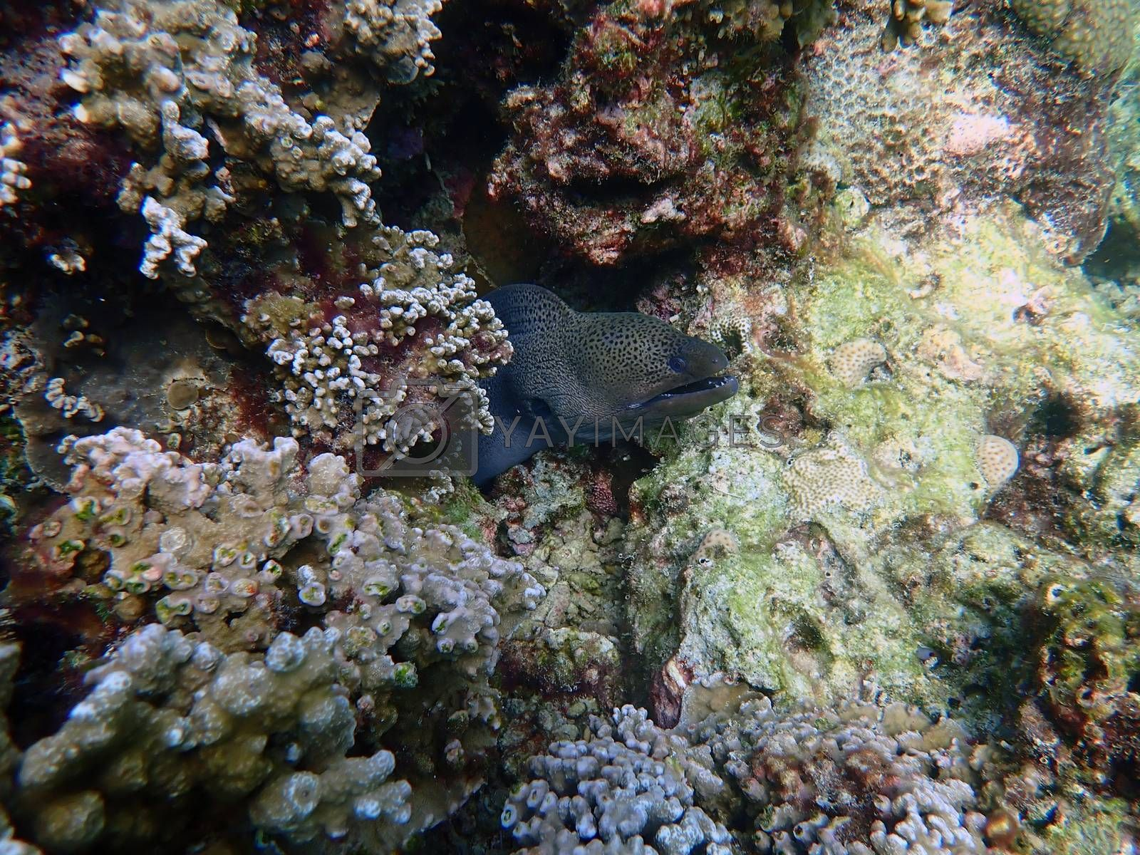 Moray eel with corals in sea, underwater landscape with sea life