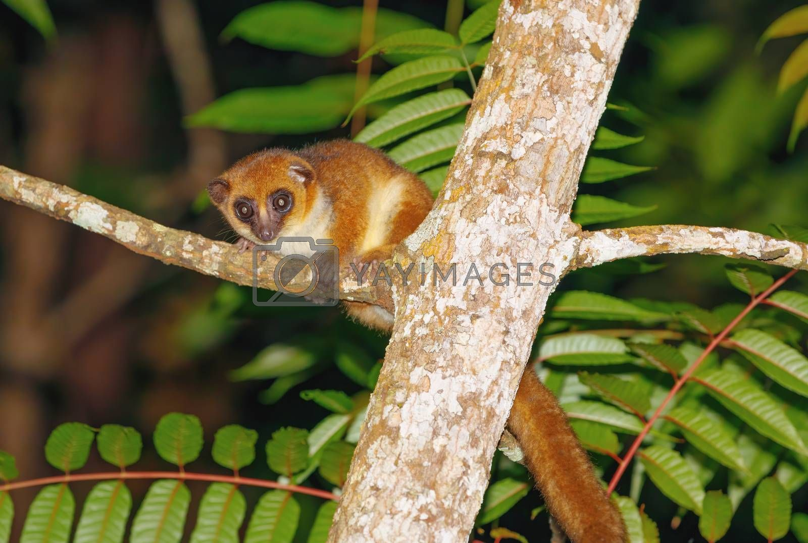 small brown mouse lemur (Microcebus rufus) at night in natural habitat, Masoala national park, Madagascar wildlife