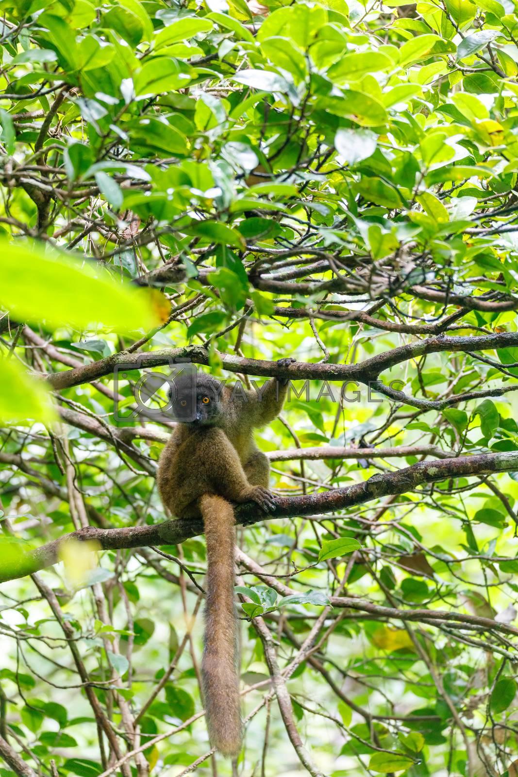 female of white-headed lemur (Eulemur albifrons) on branch in Madagascar rainforest. Masoala forest reserve. Madagascar wildlife and wilderness