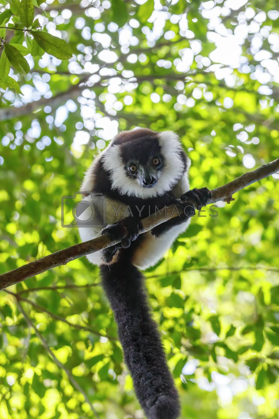 Black-and-white ruffed lemur (Varecia variegata subcincta) in natural rainforest habitat, Nosy Mangabe forest reserve. Madagascar wildlife and wilderness