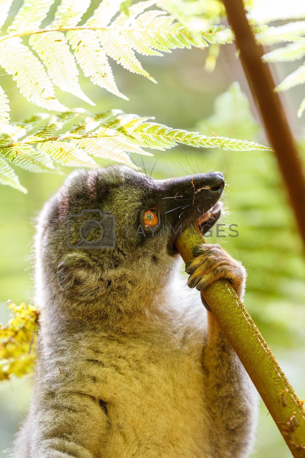 Common brown lemur (Eulemur fulvus) feeding in top of the tree, in natural habitat, Andasibe - Analamazaotra National Park, Madagascar wildlife