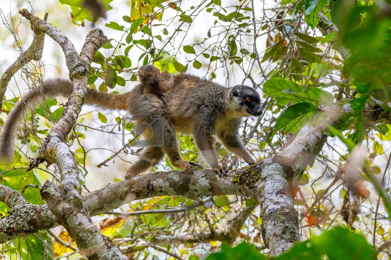Common brown lemur (Eulemur fulvus) in natural habitat, Female with baby on back. Andasibe - Analamazaotra National Park, Madagascar wildlife
