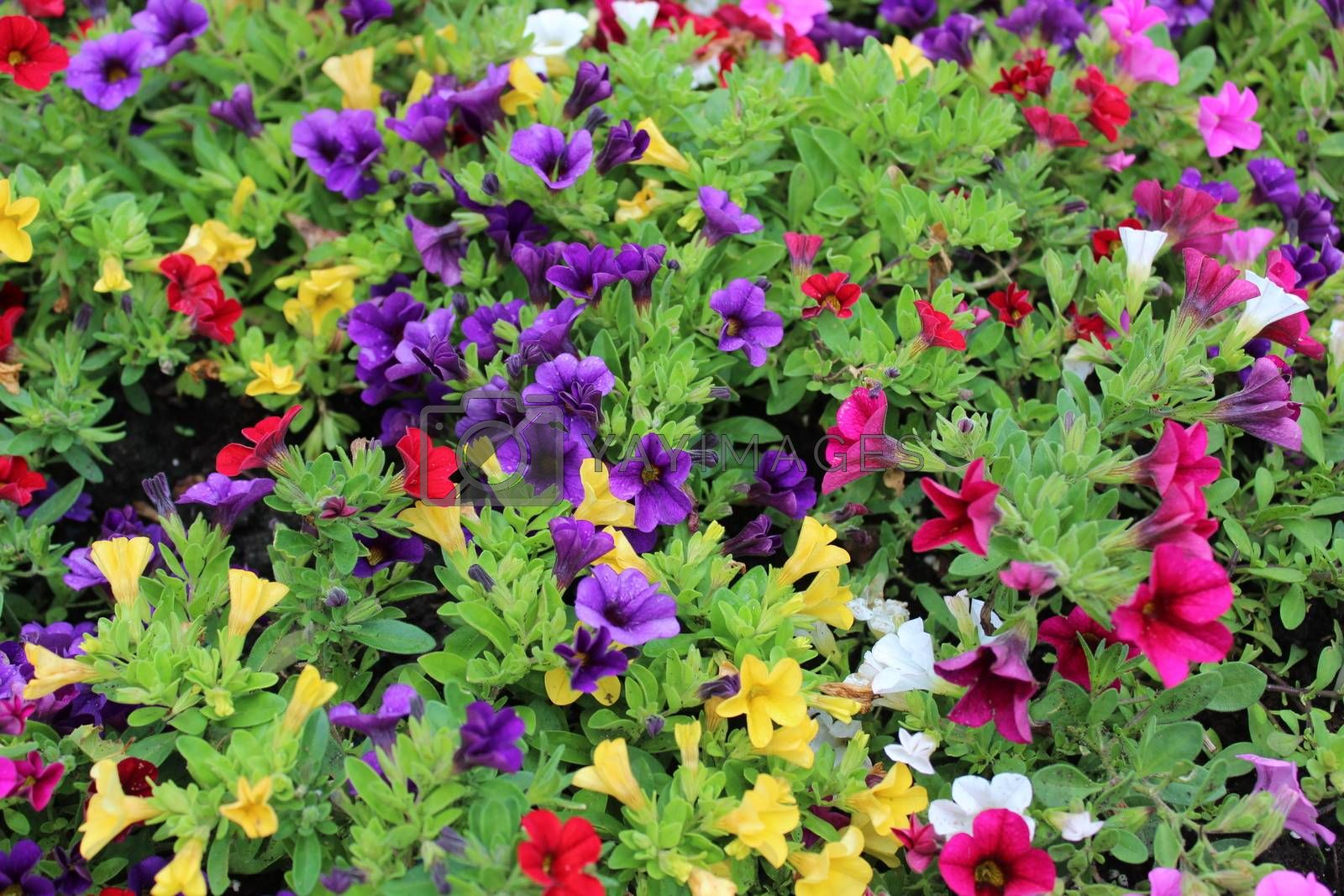 Royalty free image of colorful calibrachoa plants in the garden by martina_unbehauen