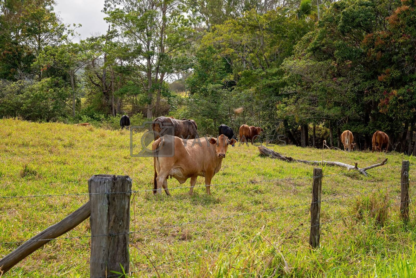 A cow looking around as she grazes with her herd