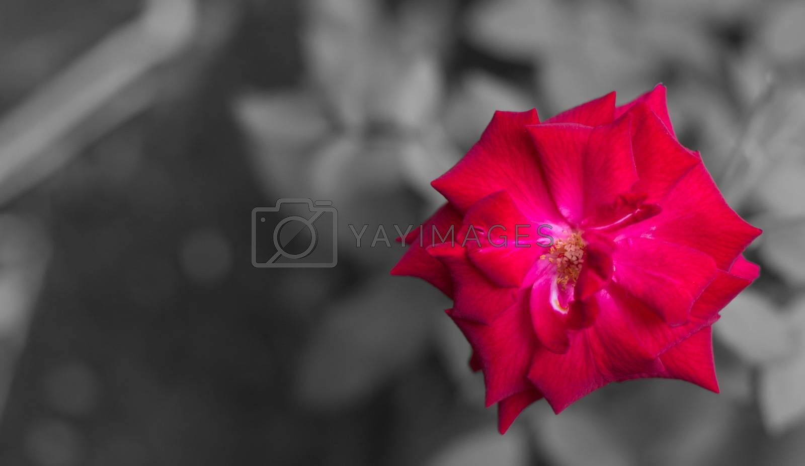 Red rose isolated on gray background and texture.