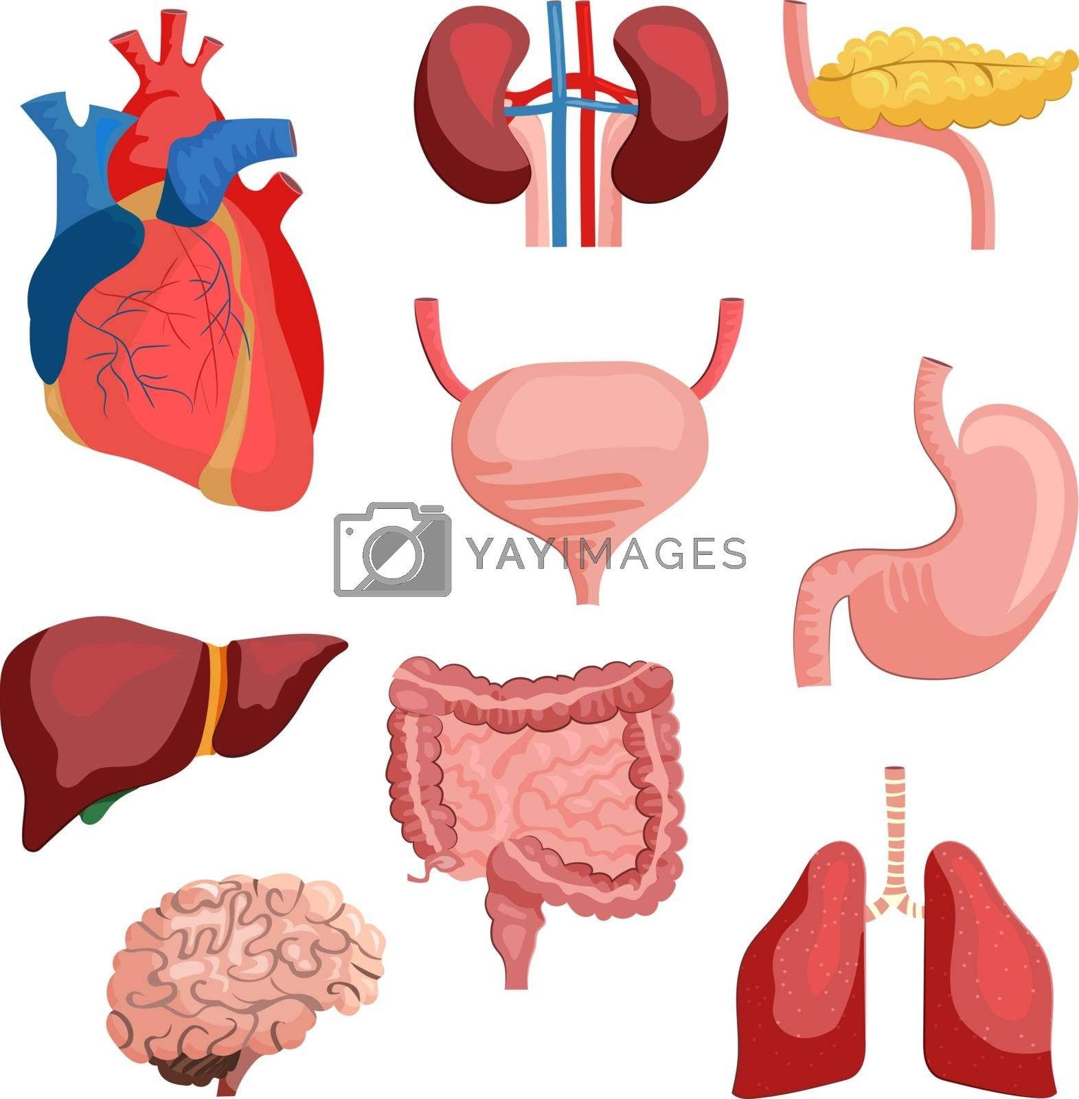 Internal organs set. Collection of body systems. Can be used for topics like human anatomy, education, health