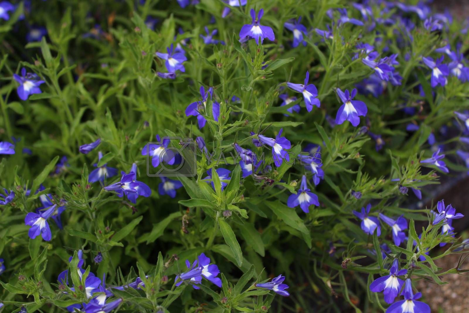 Royalty free image of a field with lobelia in the garden by martina_unbehauen