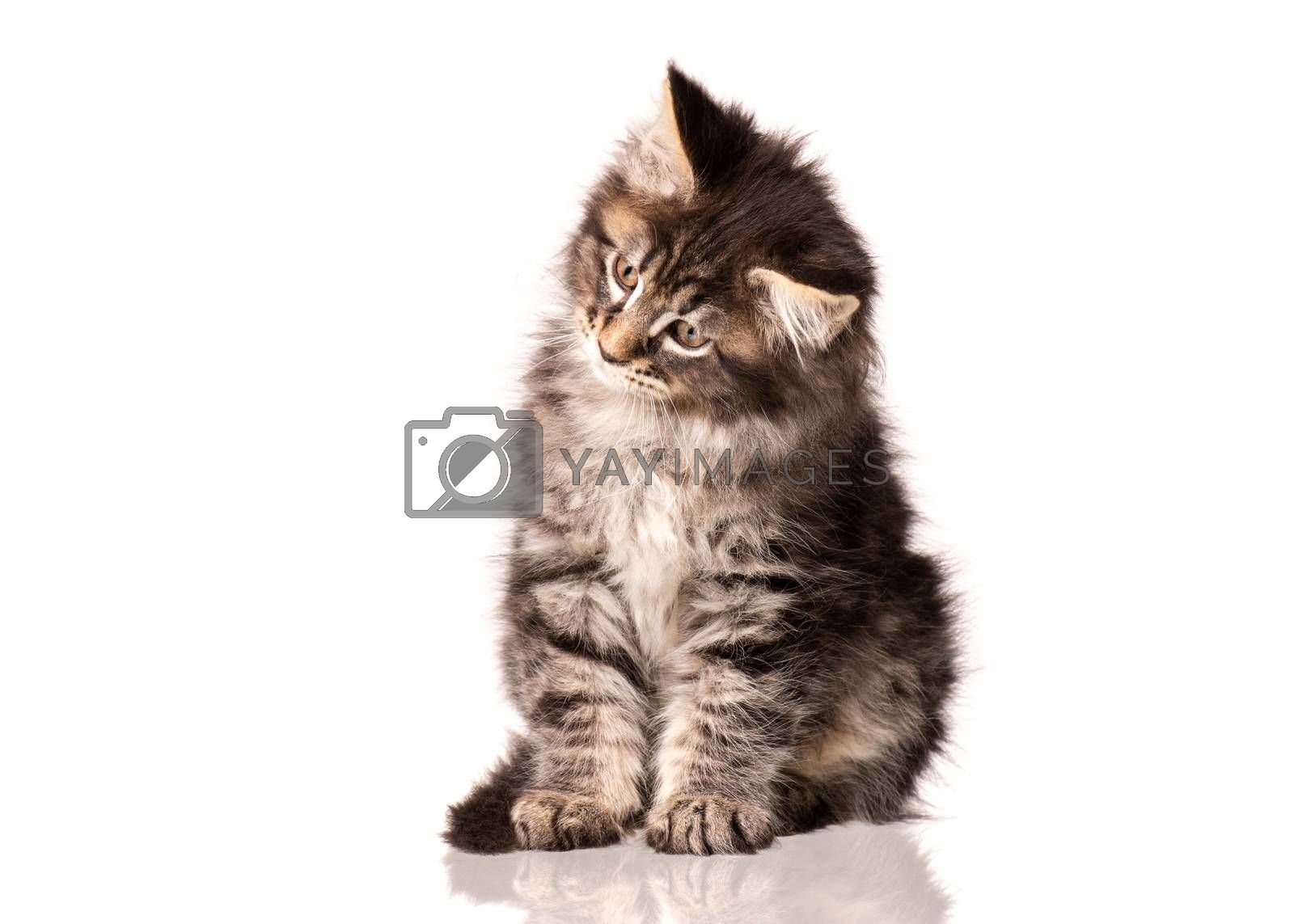Maine Coon kitten 2 months old. Cat isolated on white background. Portrait of beautiful domestic kitty. Studio photo of black tabby little cat.