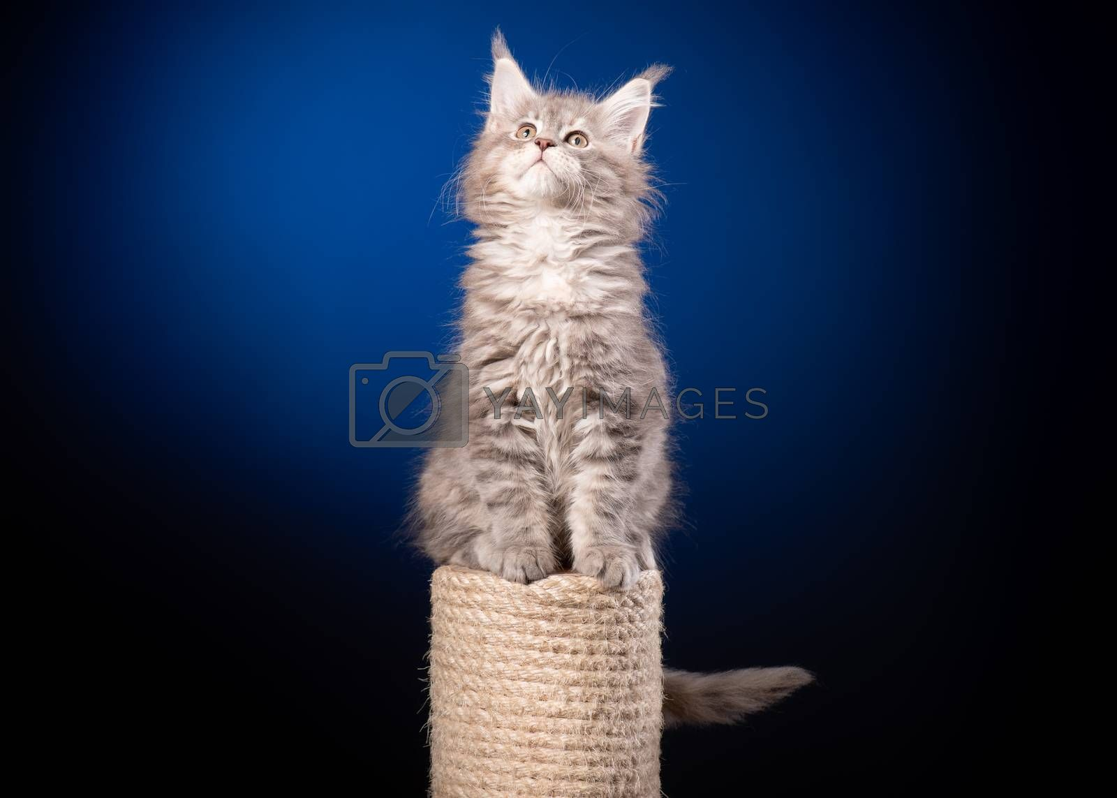 Maine Coon kitten 2 months old sitting on scratching post for cats. Studio photo of beautiful gray domestic kitty on blue background.