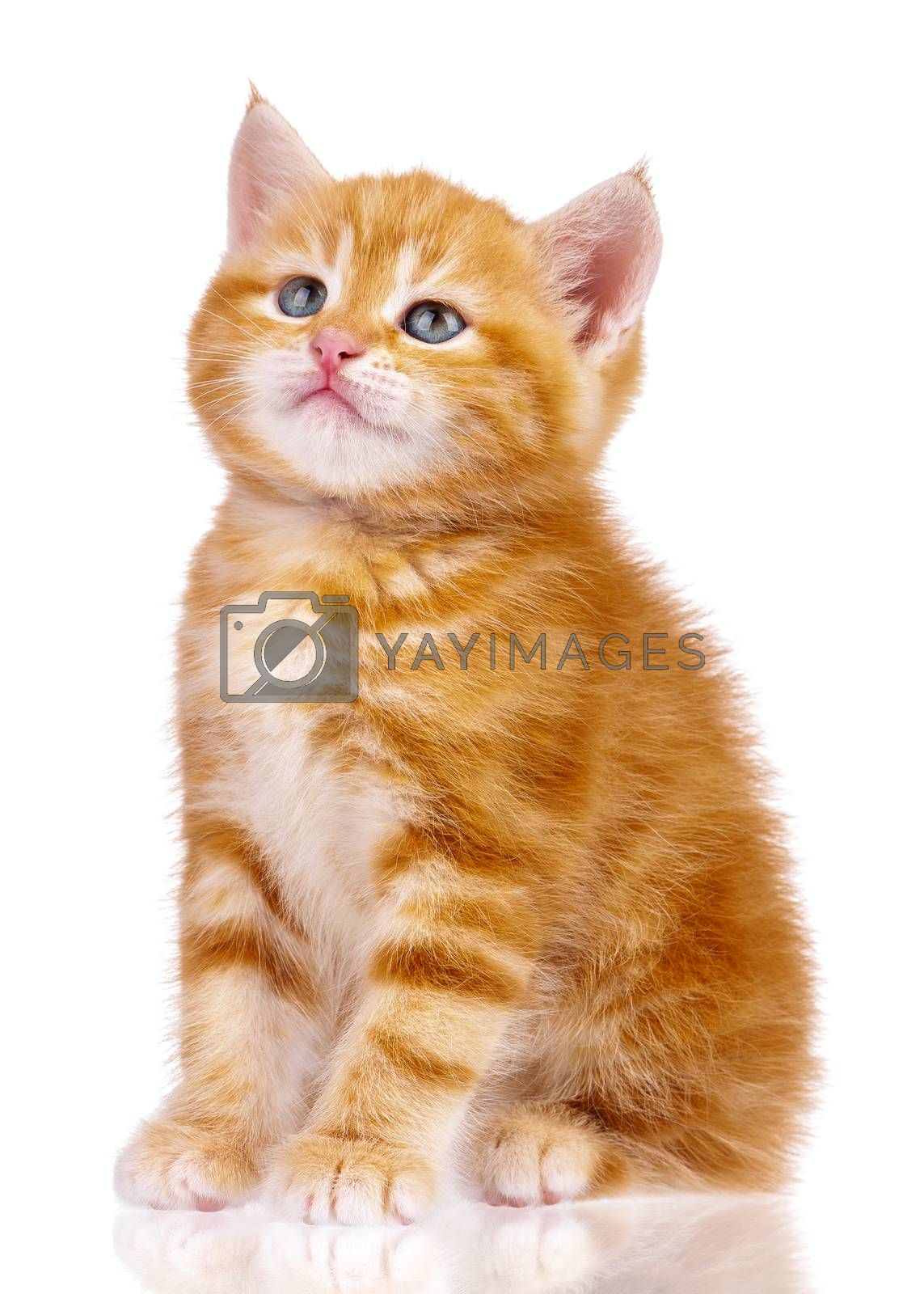 Playful red kitten isolated on white background. Cute little red cat studio shot.