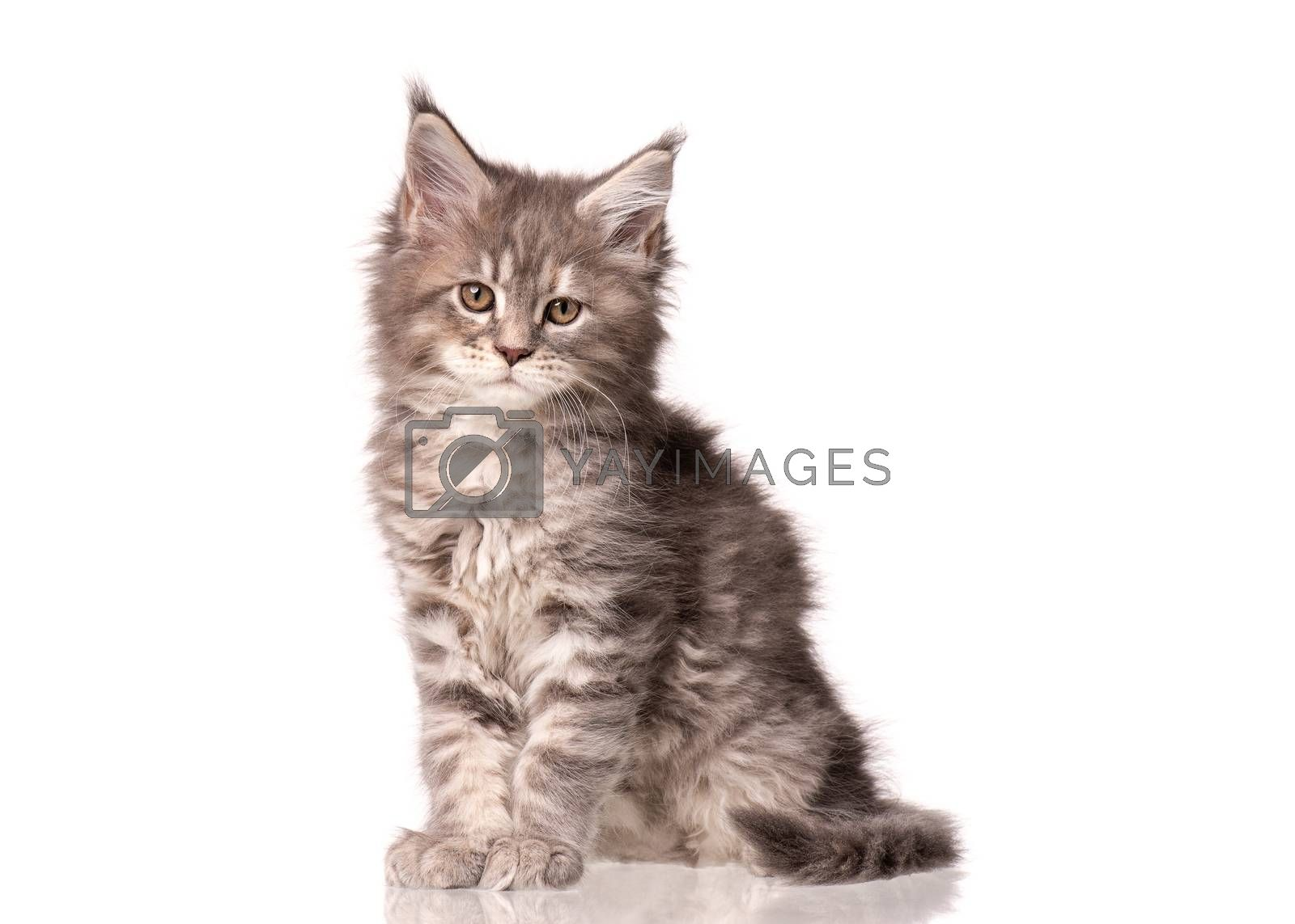 Maine Coon kitten 2 months old. Cat isolated on white background. Portrait of beautiful domestic kitty. Studio photo of gray little cat.