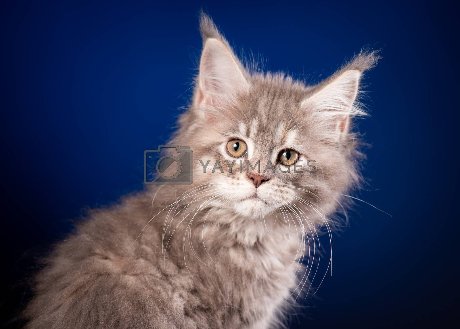 Funny Maine Coon kitten 2 months old looking at camera. Close-up studio photo of gray little cat on blue background. Portrait of beautiful domestic kitty.
