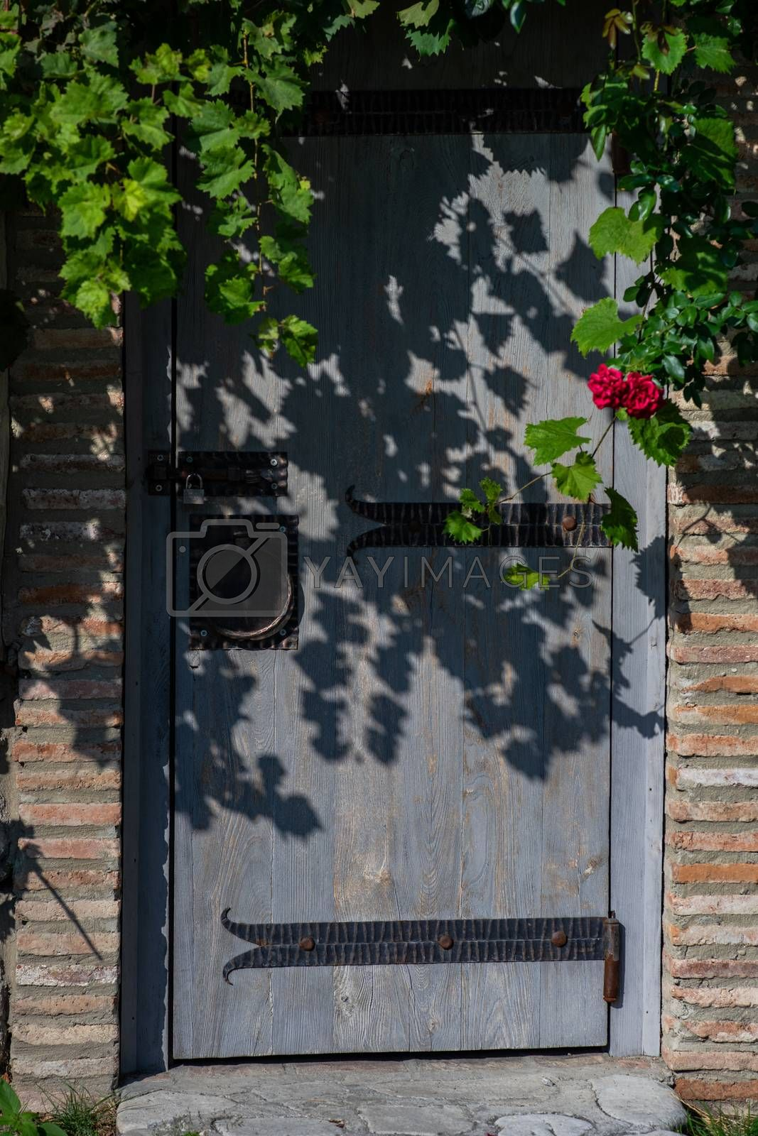 Old door with creeping wild grape plant in sunny day